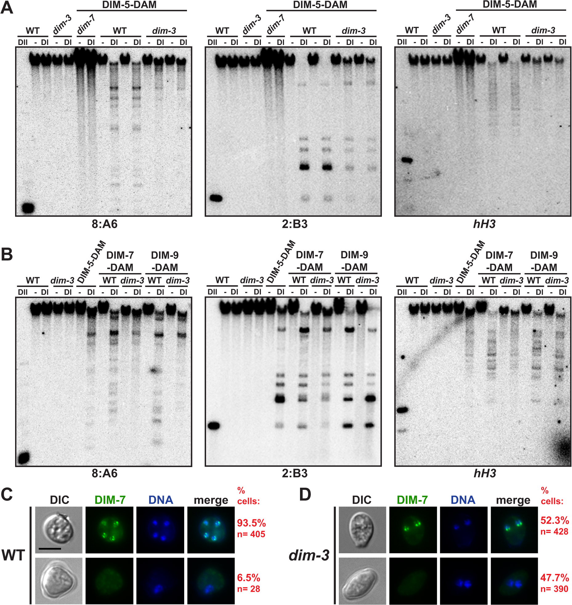 DIM-5 and DIM-7 are mislocalized from heterochromatin in a <i>dim-3</i> strain.