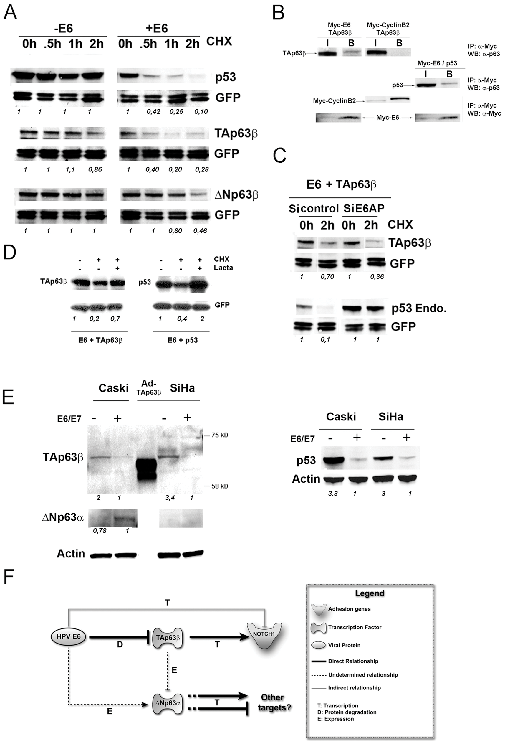 The HPV18 E6 oncogene interacts with and induces degradation of the TAp63β isoform in an E6AP independent manner.