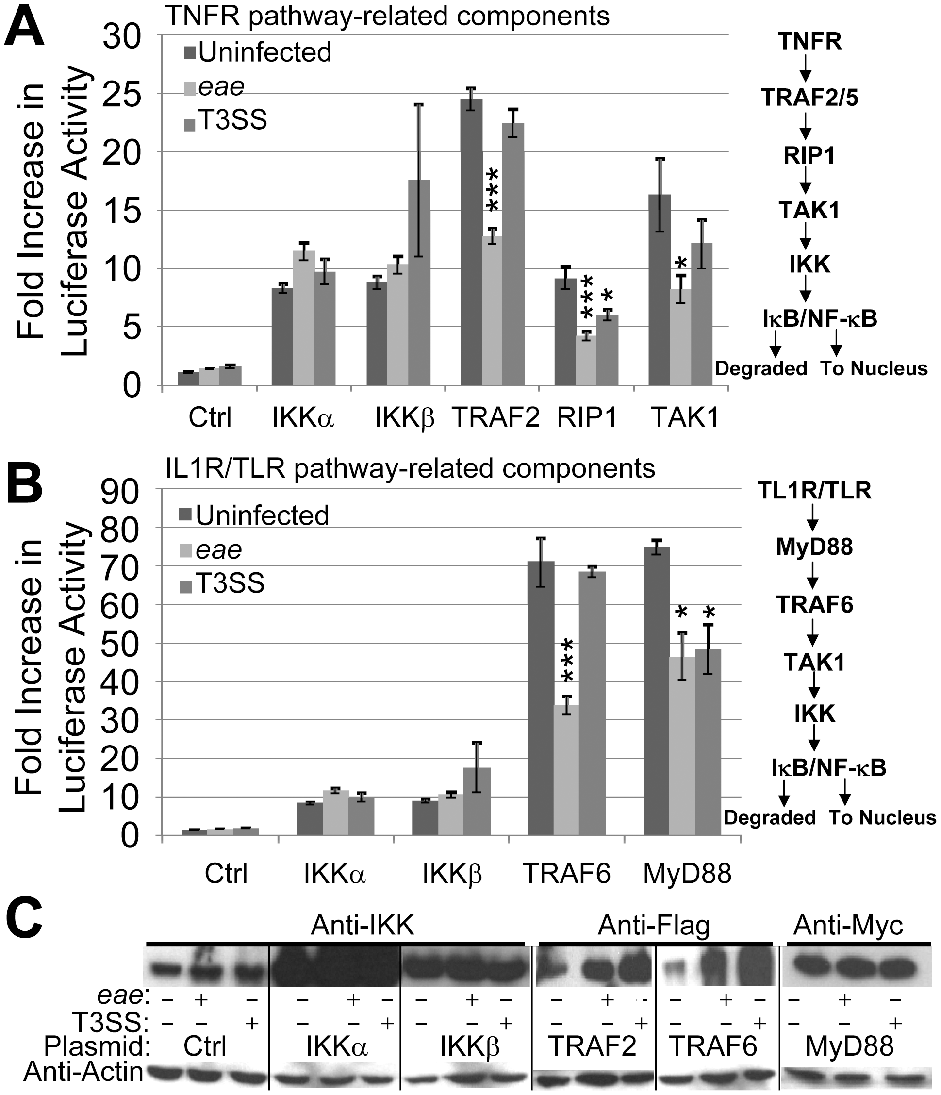 EPEC T3SS-dependent inhibition of NF-κB activity is associated with effectors targeting pathway components upstream of the IKK complex.