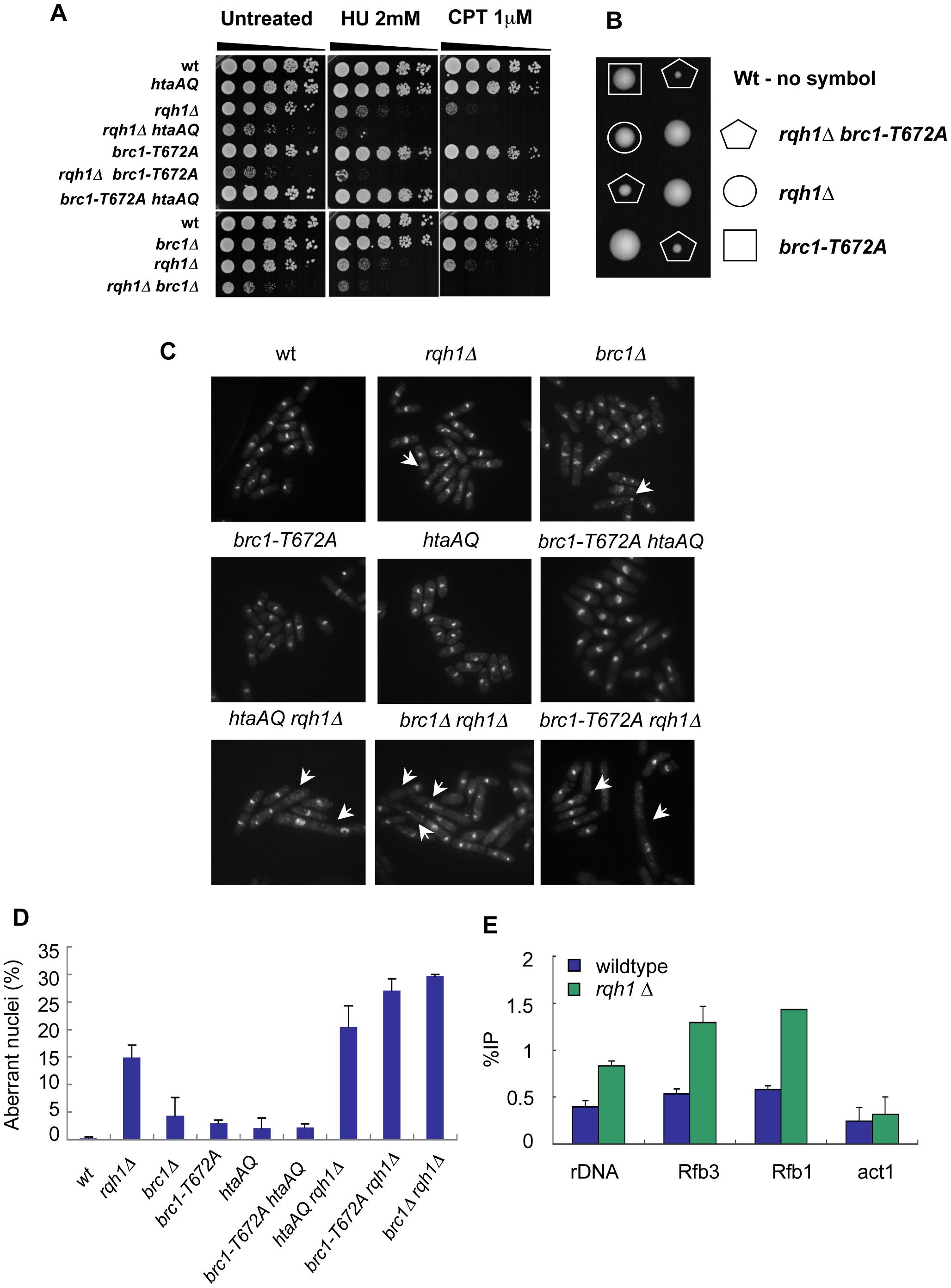 γH2A-Brc1 interactions are crucial for genome stability during unperturbed growth in the absence of Rqh1.