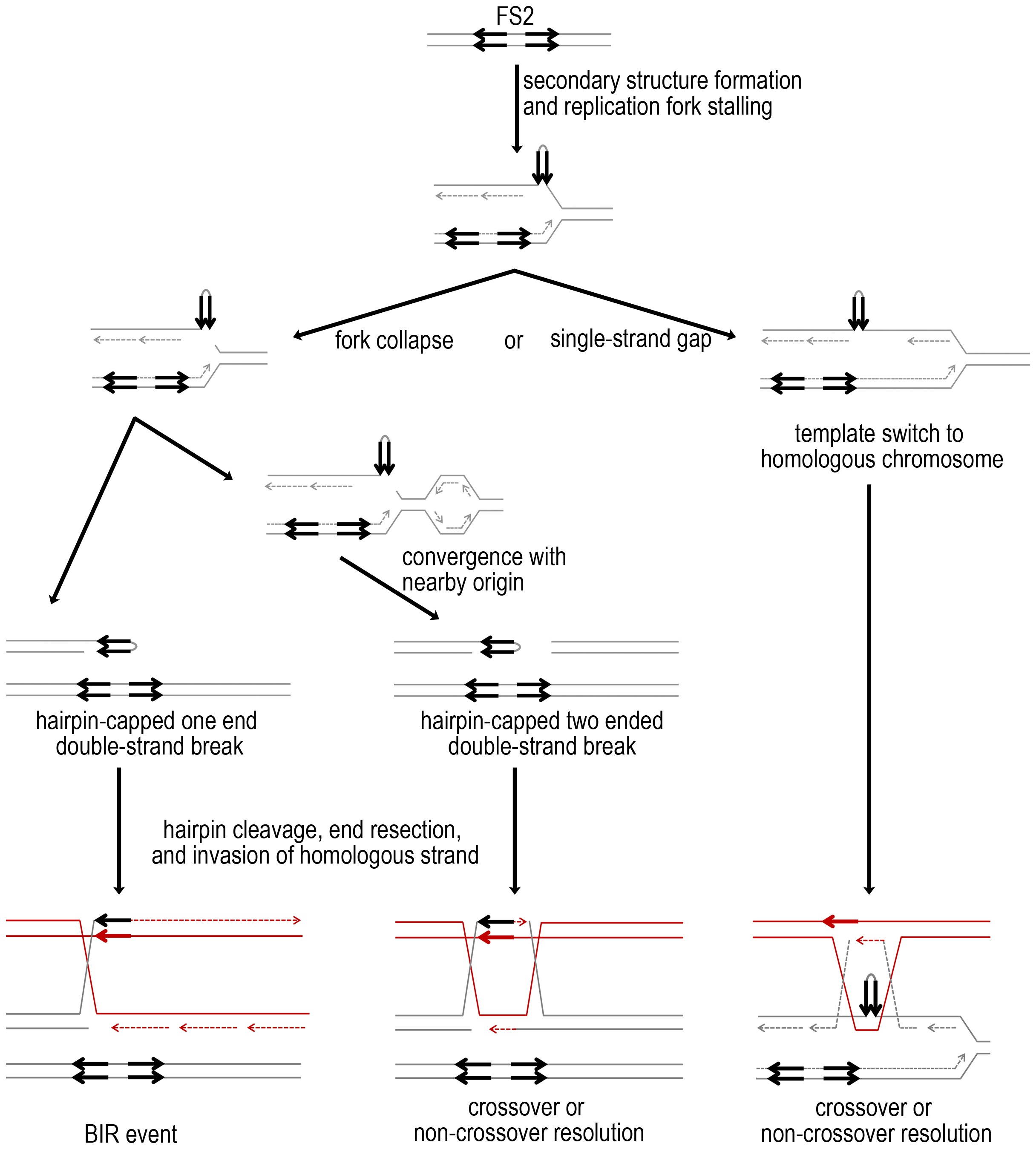 Mechanisms for fragile site stimulated mitotic crossovers and BIR events.
