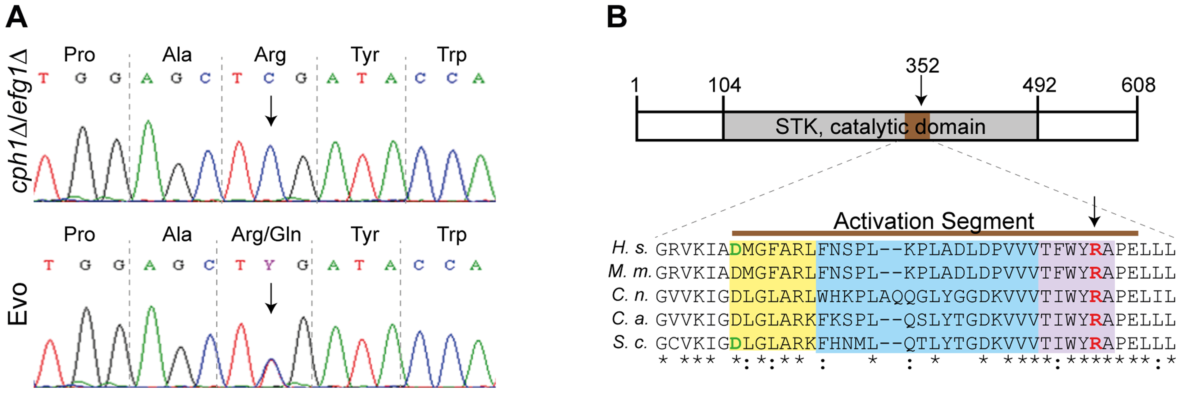 Single nucleotide polymorphism in <i>SSN3</i> of the Evo strain and location of the mutated amino acid.