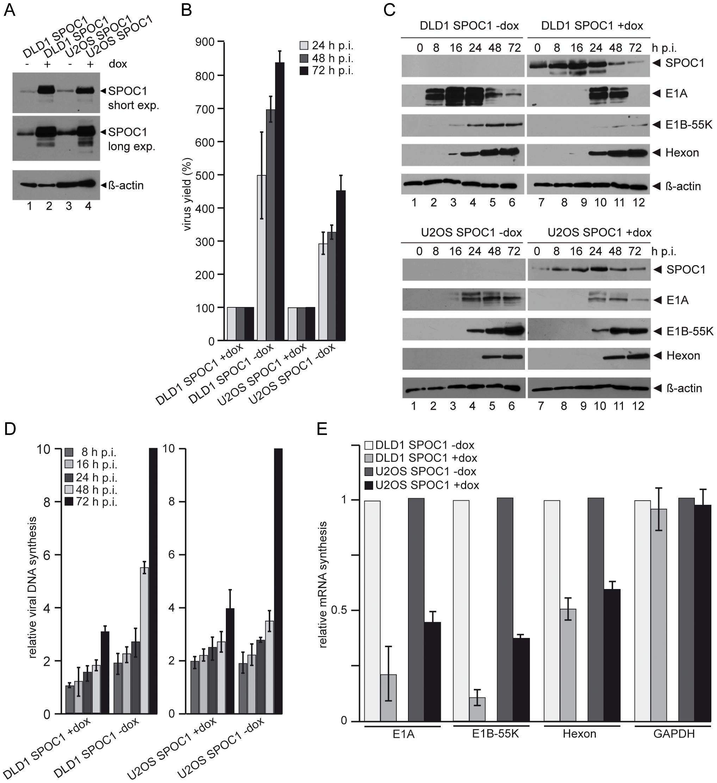 SPOC1 overexpression represses Ad5 gene expression.