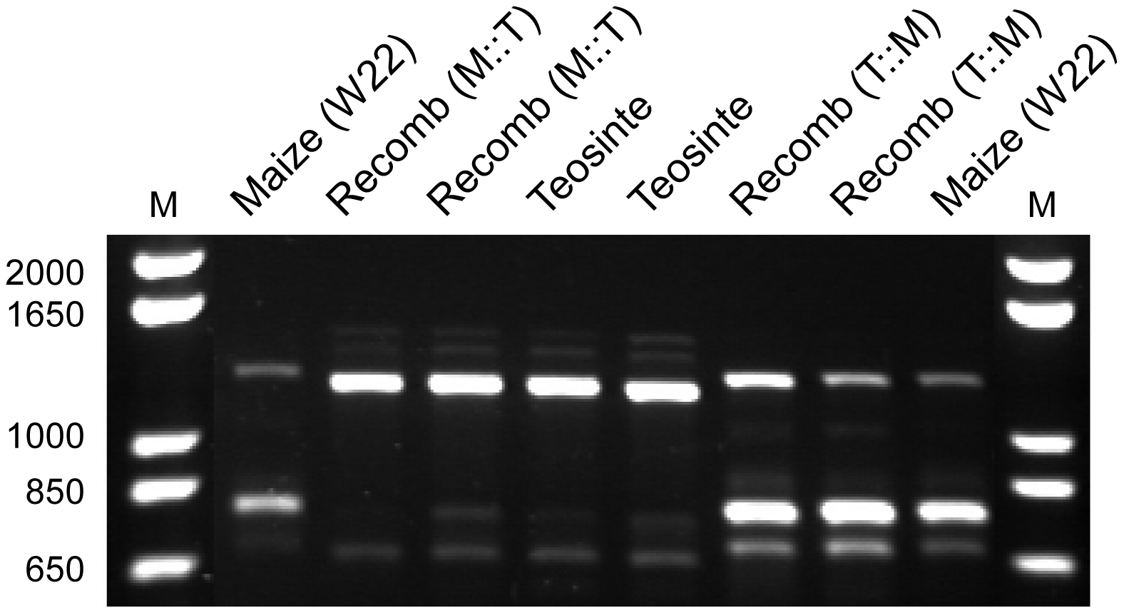 Agarose gel image showing RT-PCR products for <i>gt1</i>.