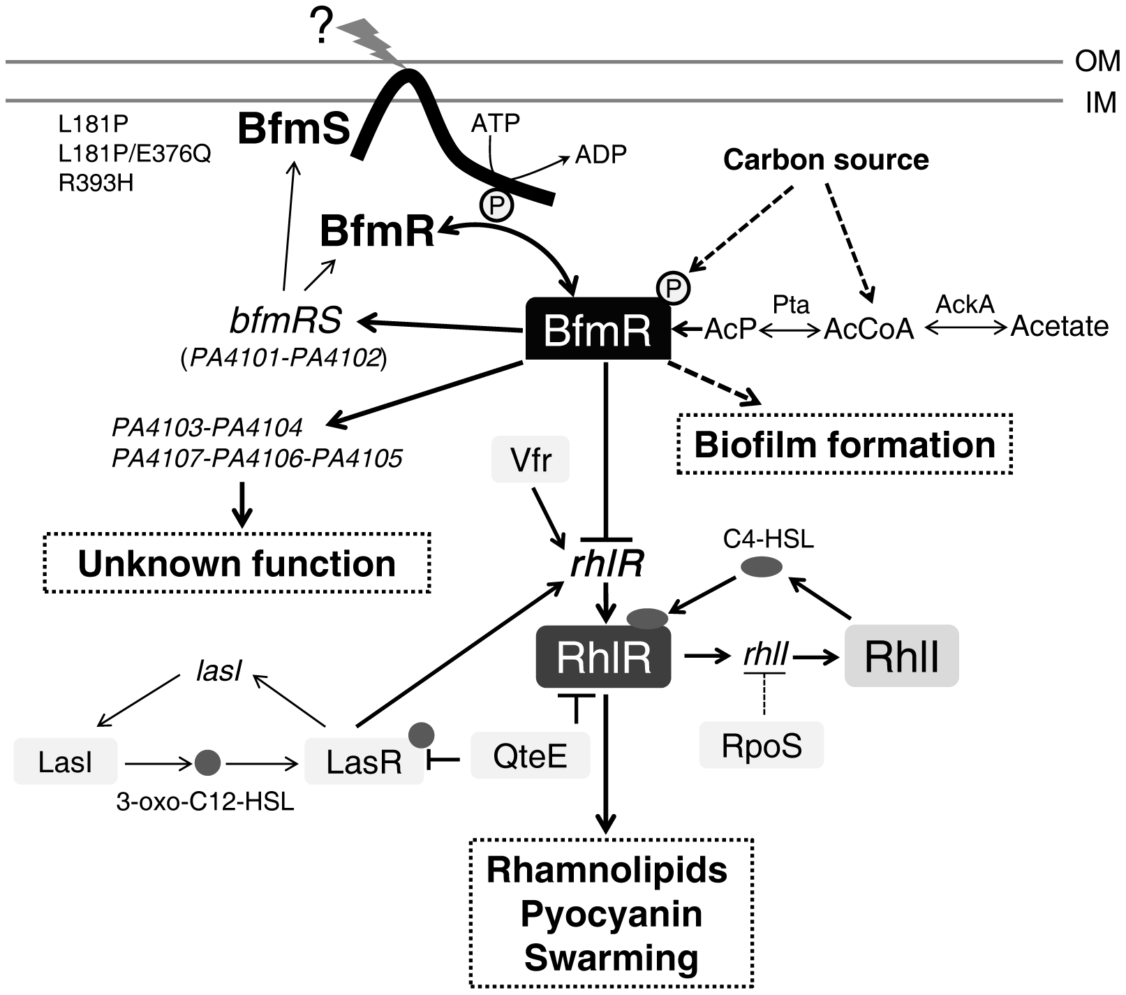 Model of the regulatory networks involving BfmRS in <i>P. aeruginosa</i>.
