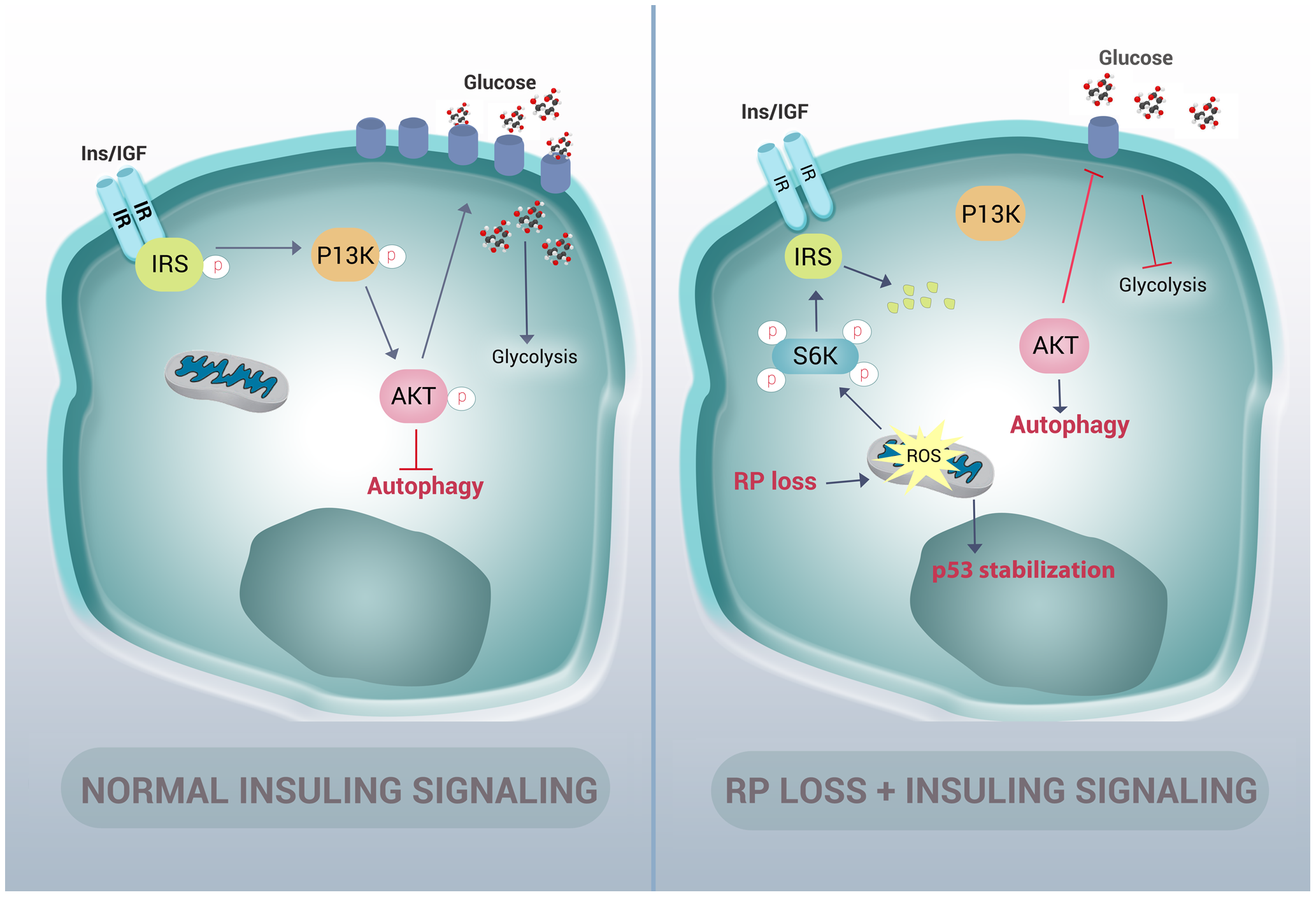 Graphic representation of how RP mutations result in autophagy and insulin pathway inhibition.