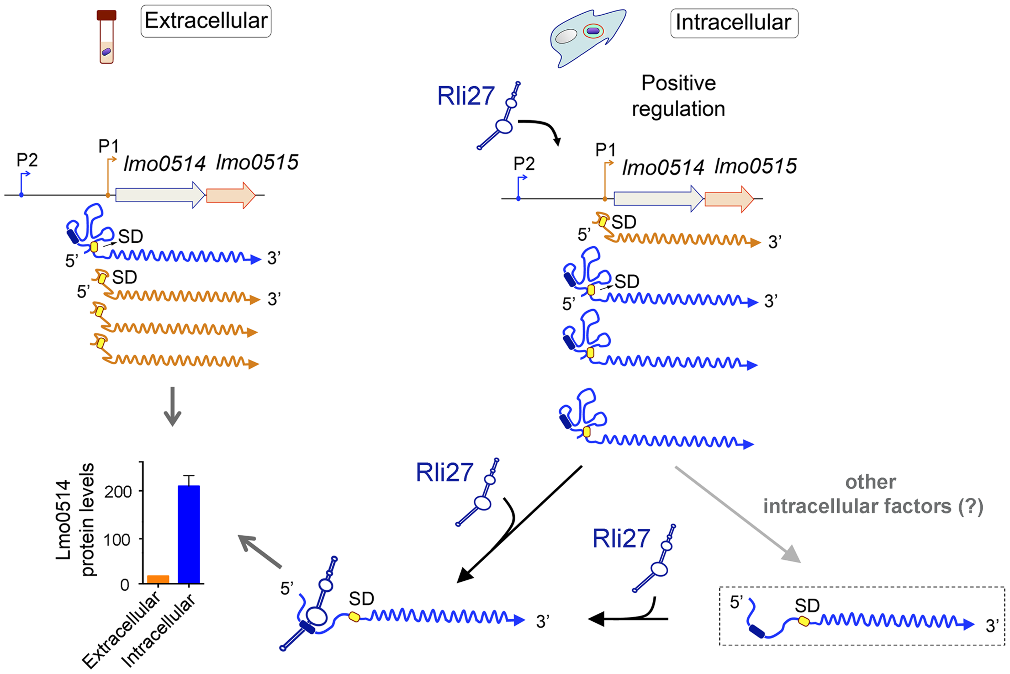 Model of the mechanism by which the <i>L. monocytogenes</i> sRNA Rli27 could positively regulate production of the cell wall protein Lmo0514 inside eukaryotic cells.