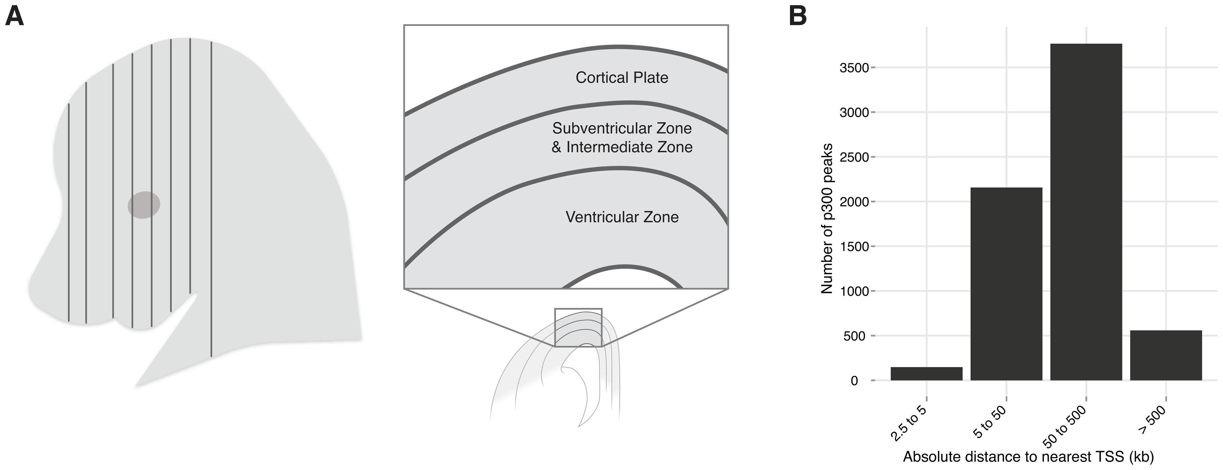 Neocortex development and evolution.