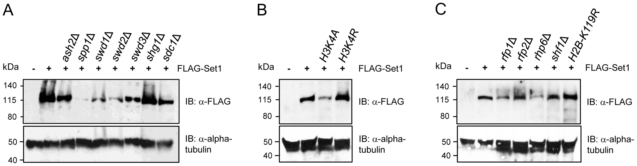 Stability of Set1 proteins is uncoupled from the status of H3K4me and H2Bub.