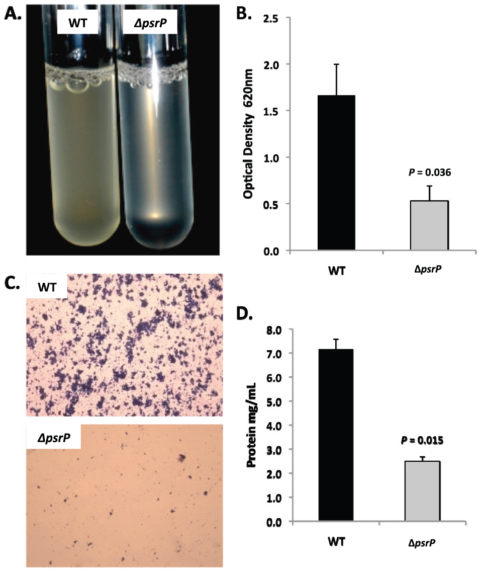 PsrP promotes bacterial aggregation in a line biofilm model.