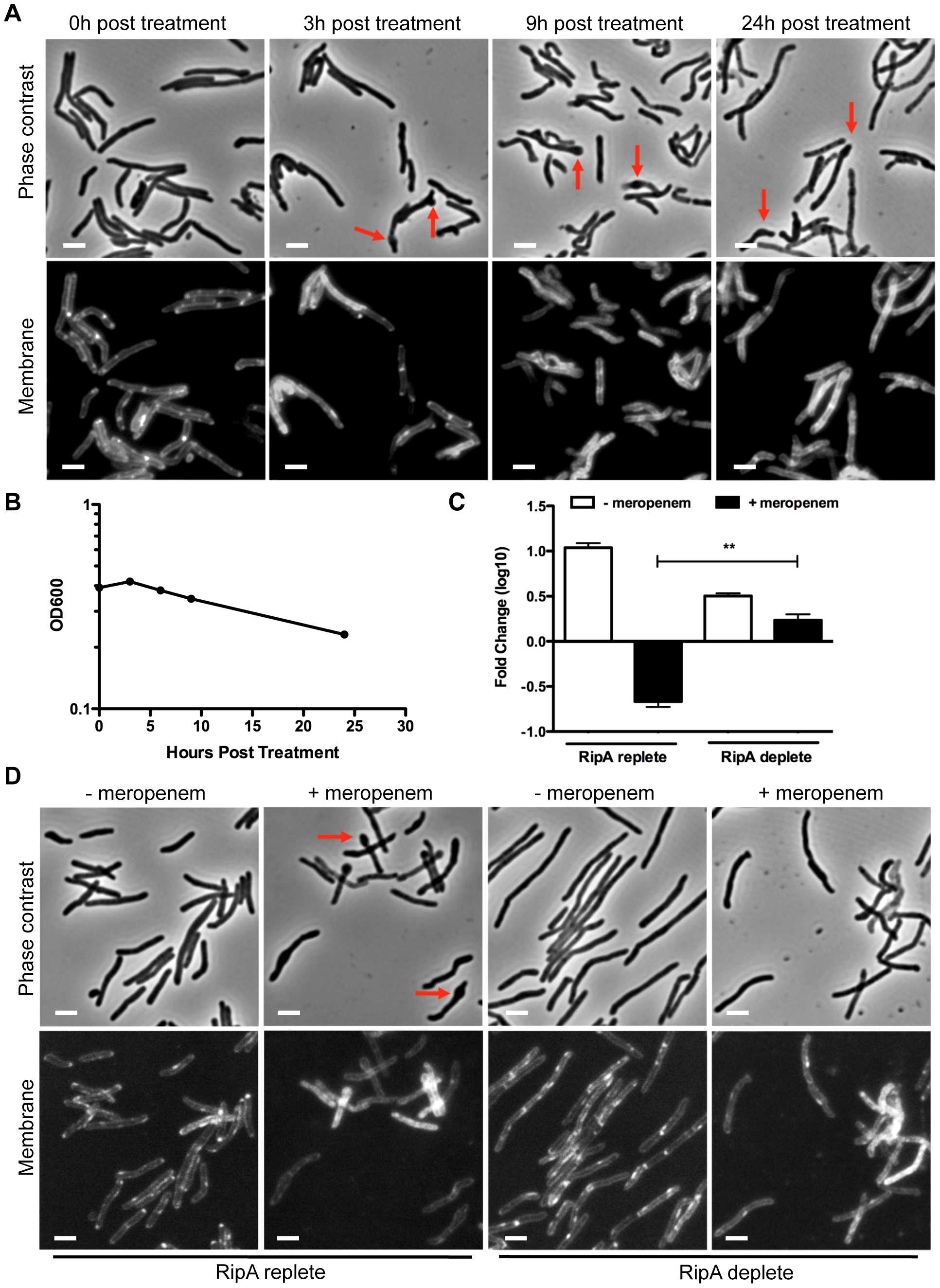 RipA depletion protects cells from meropenem-induced lysis.