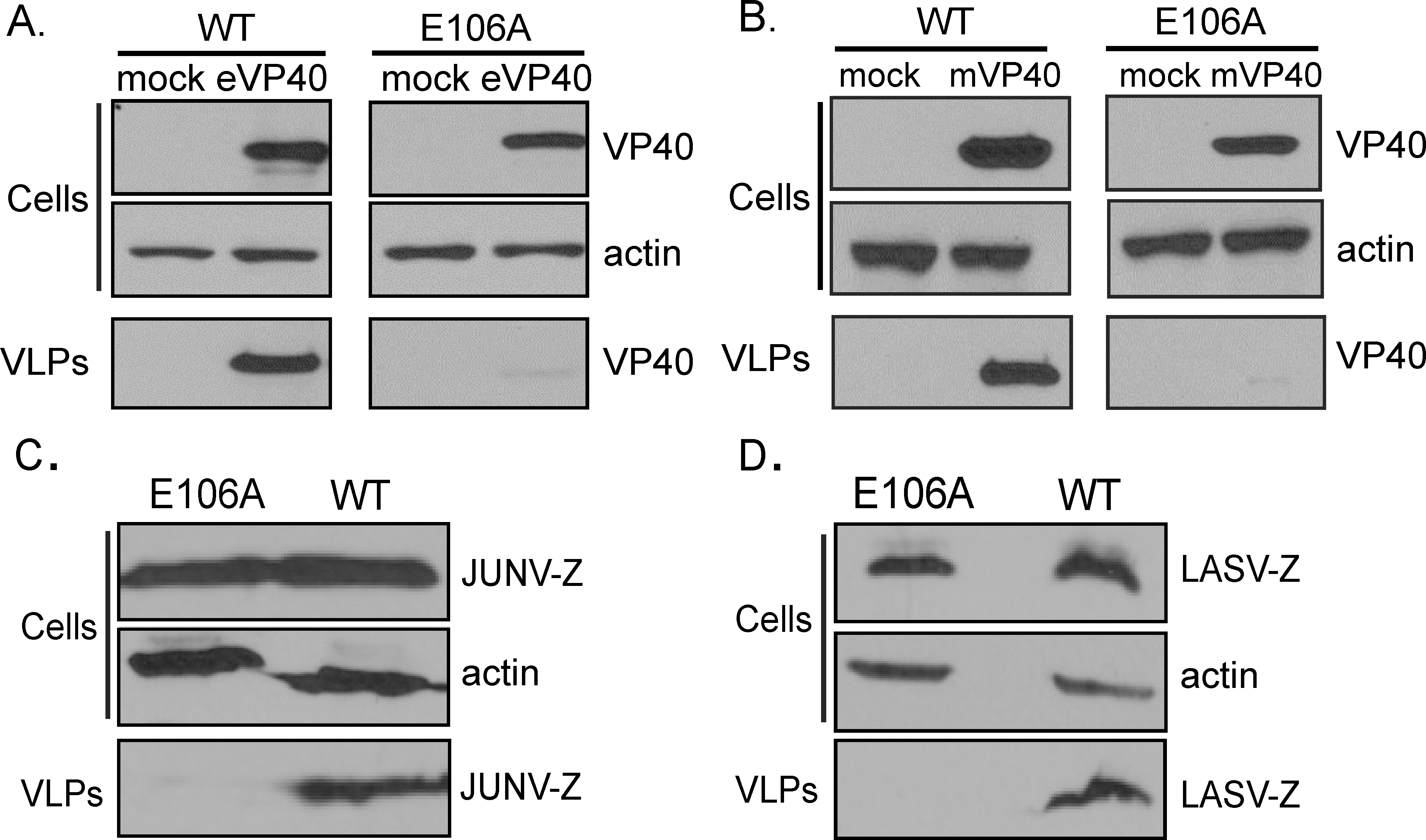 Budding of filovirus and arenavirus VLPs from WT and E106A cells.