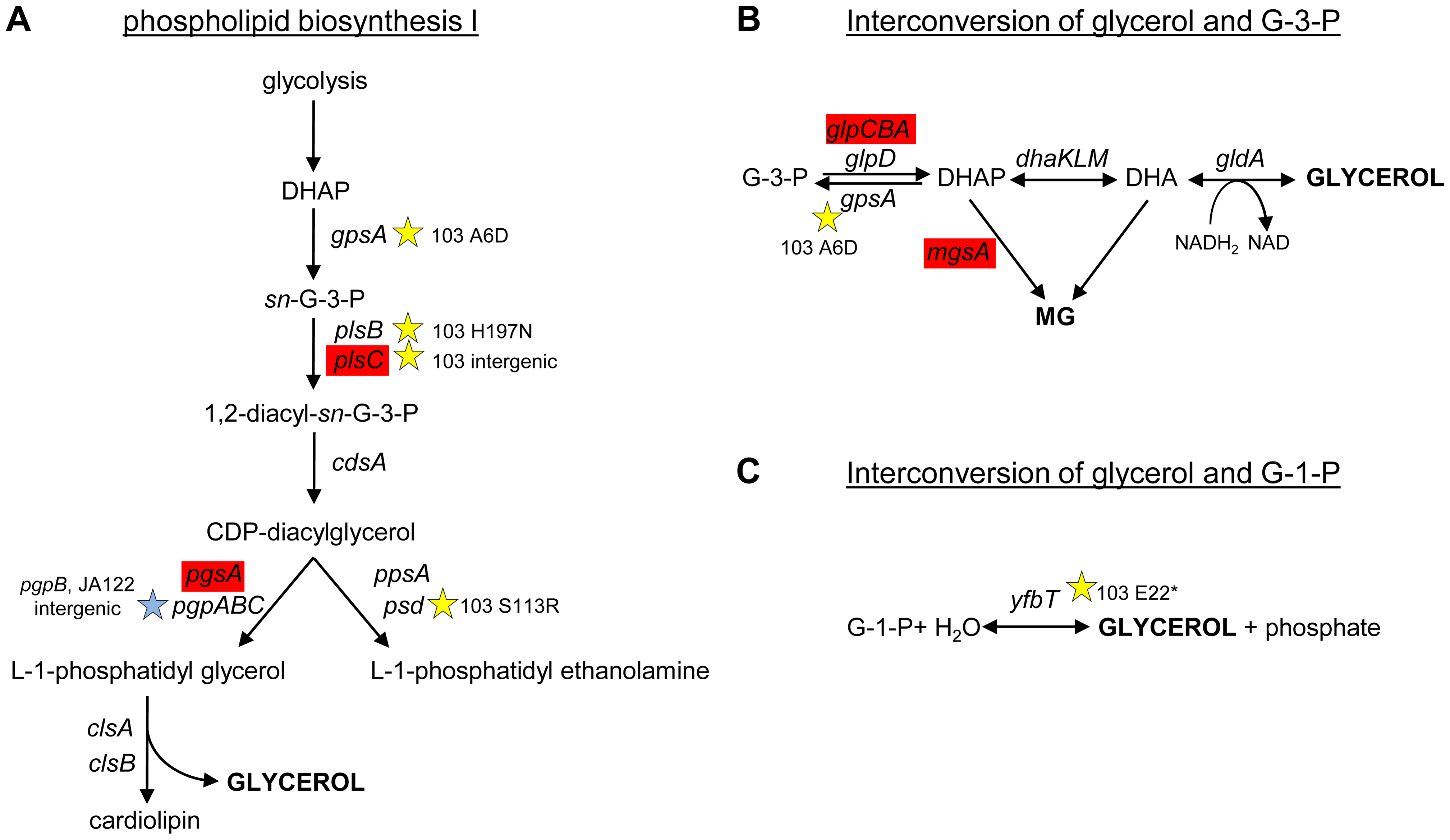 SNPs in genes involved phospholipid biosynthesis and that contribute to glycerol synthesis.