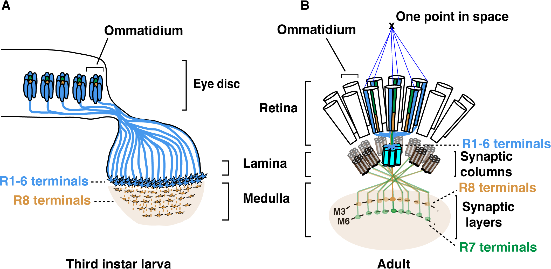 Schematic representation of the <i>Drosophila</i> visual system.