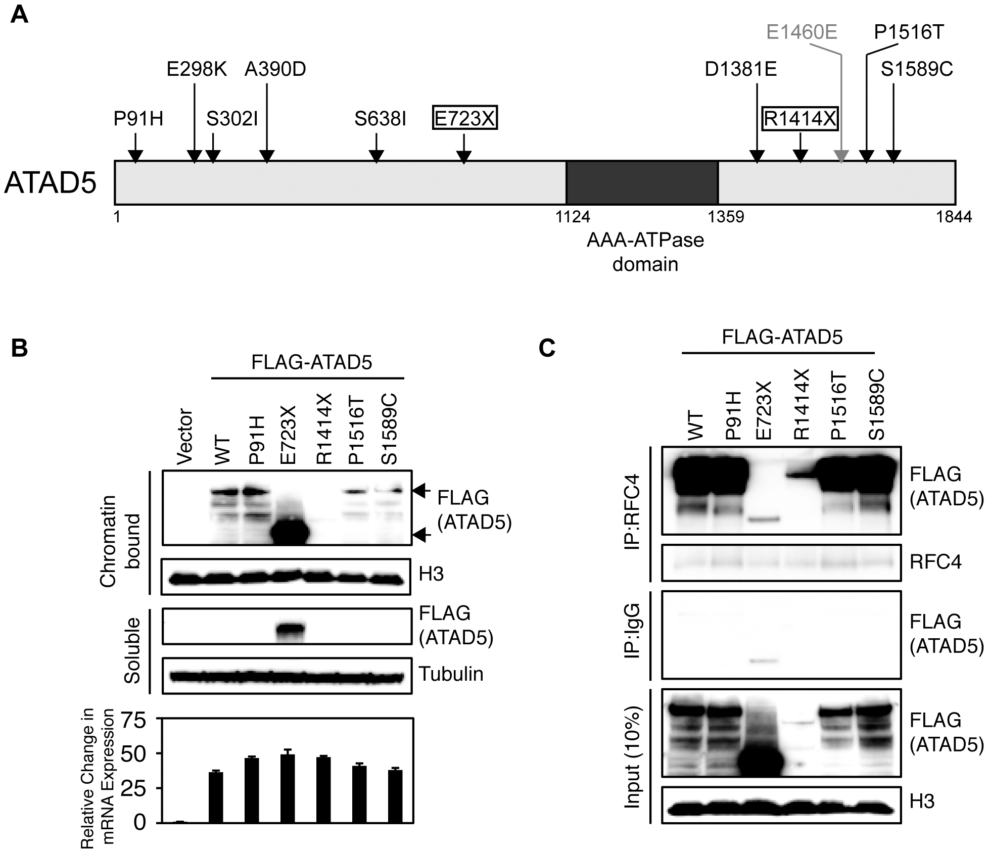 Somatic mutations of <i>ATAD5</i> in primary endometrial tumors exhibit functional defects <i>in vitro</i>.