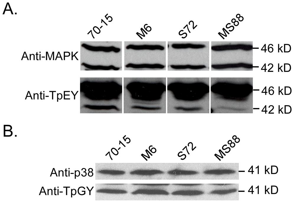 Assays for MAP kinase phosphorylation.