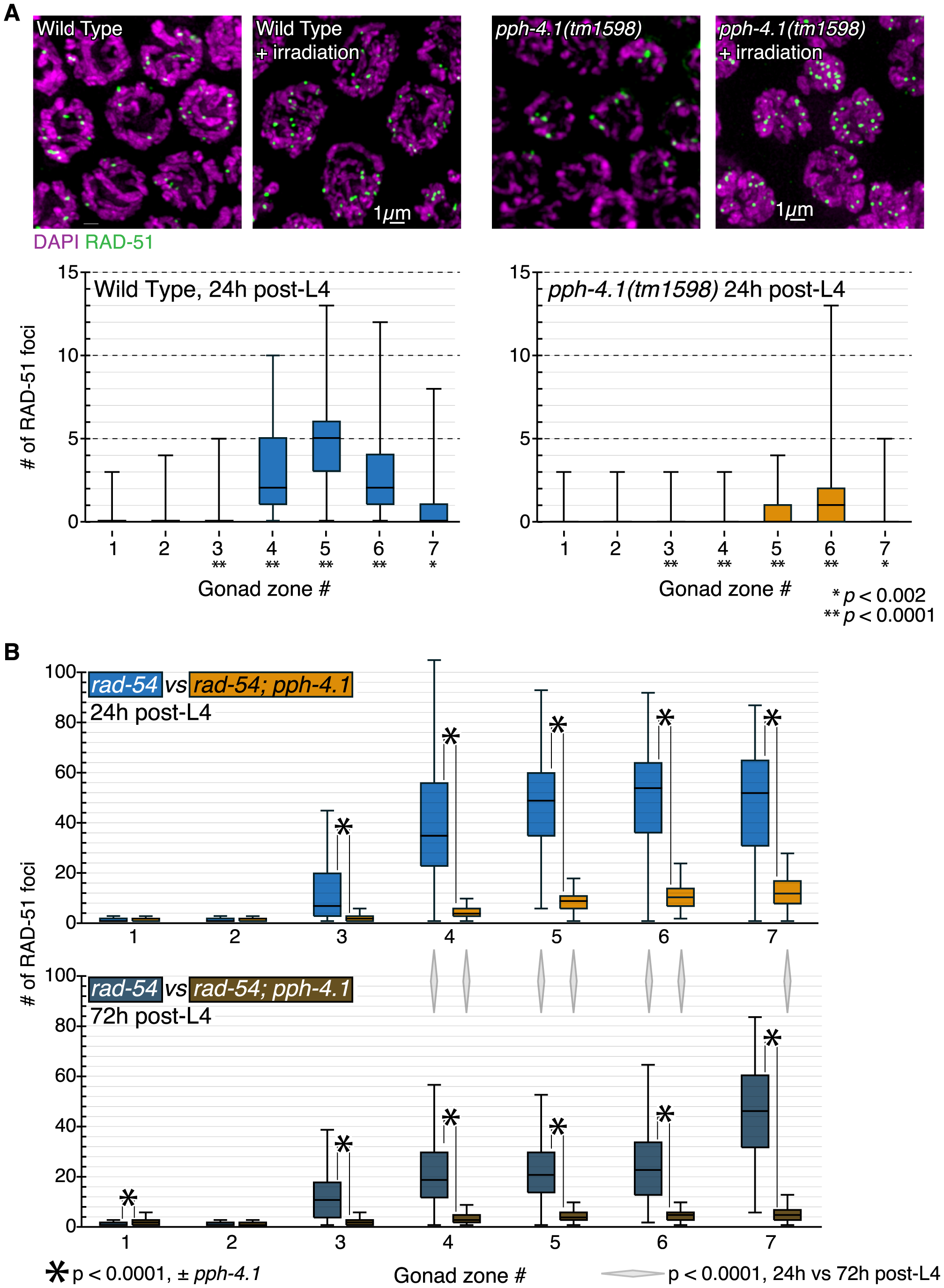 DSB initiation is perturbed in an age-dependent manner in <i>pph-4.1</i> mutants.