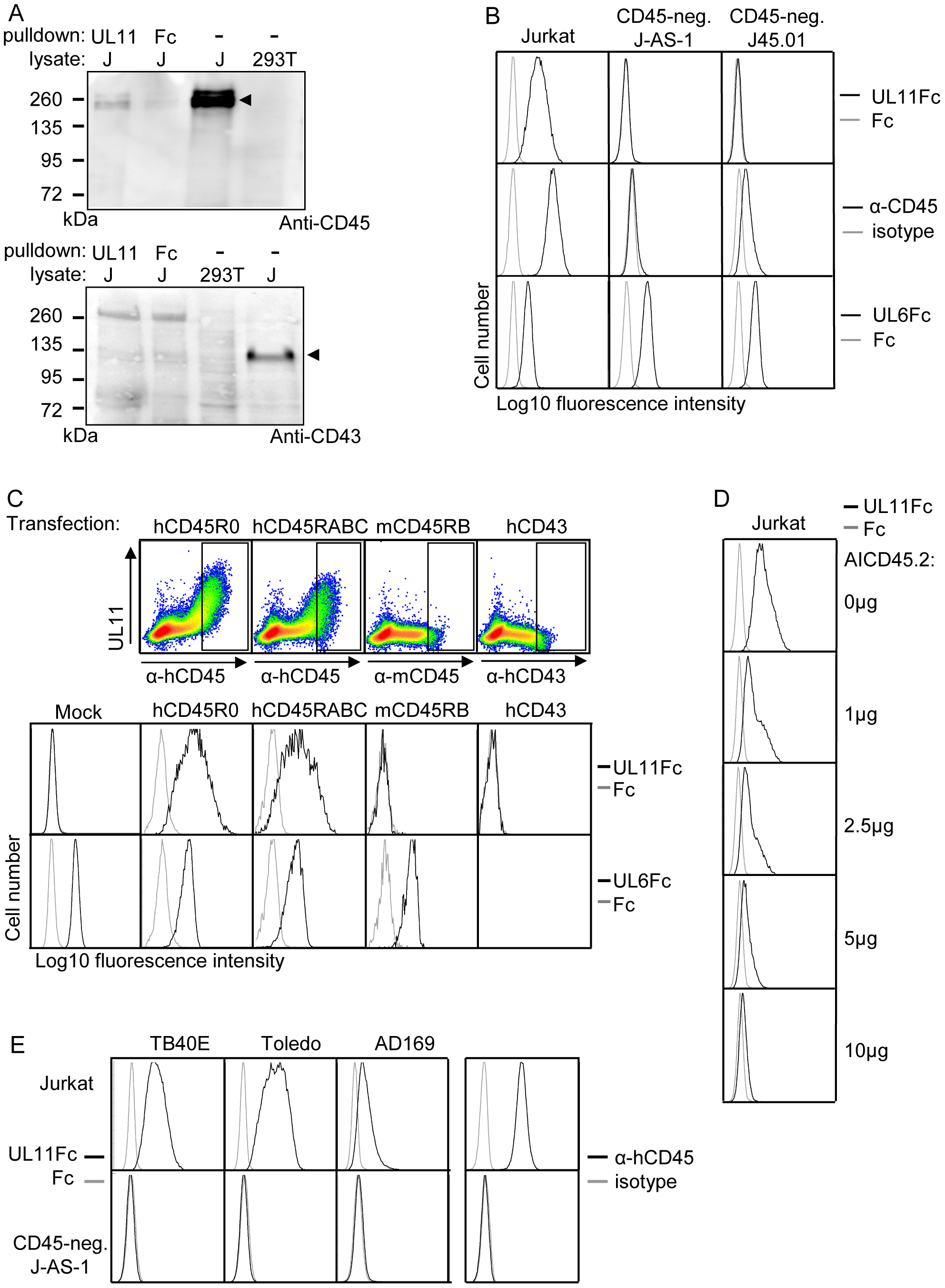 pUL11 interacts with CD45.
