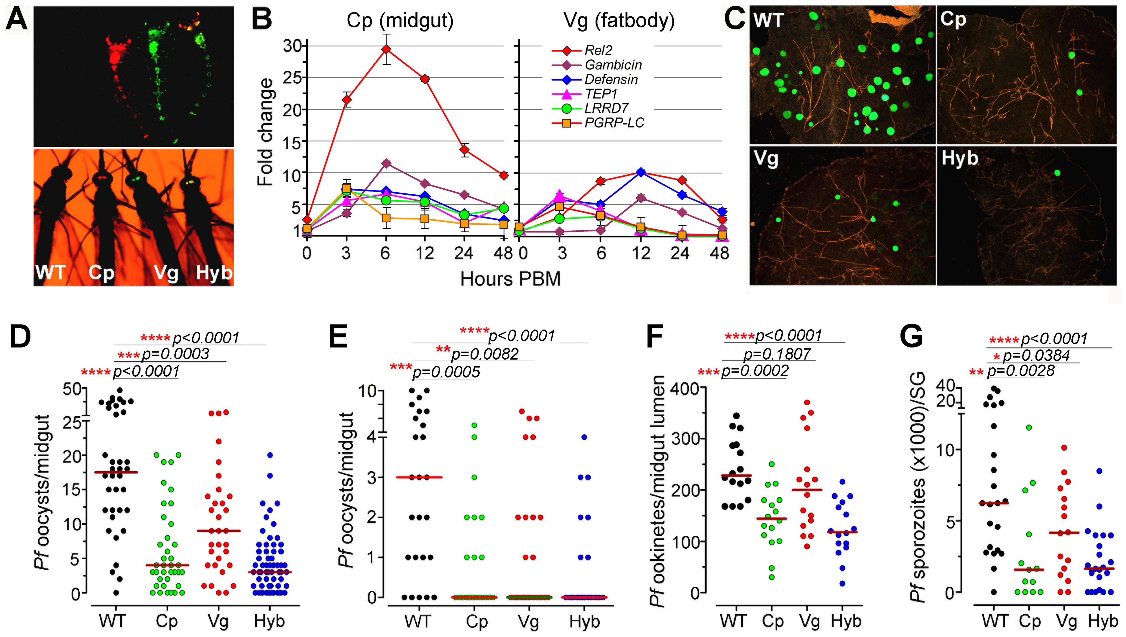 Resistance of genetically engineered <i>Rel</i>2-expressing immune-enhanced