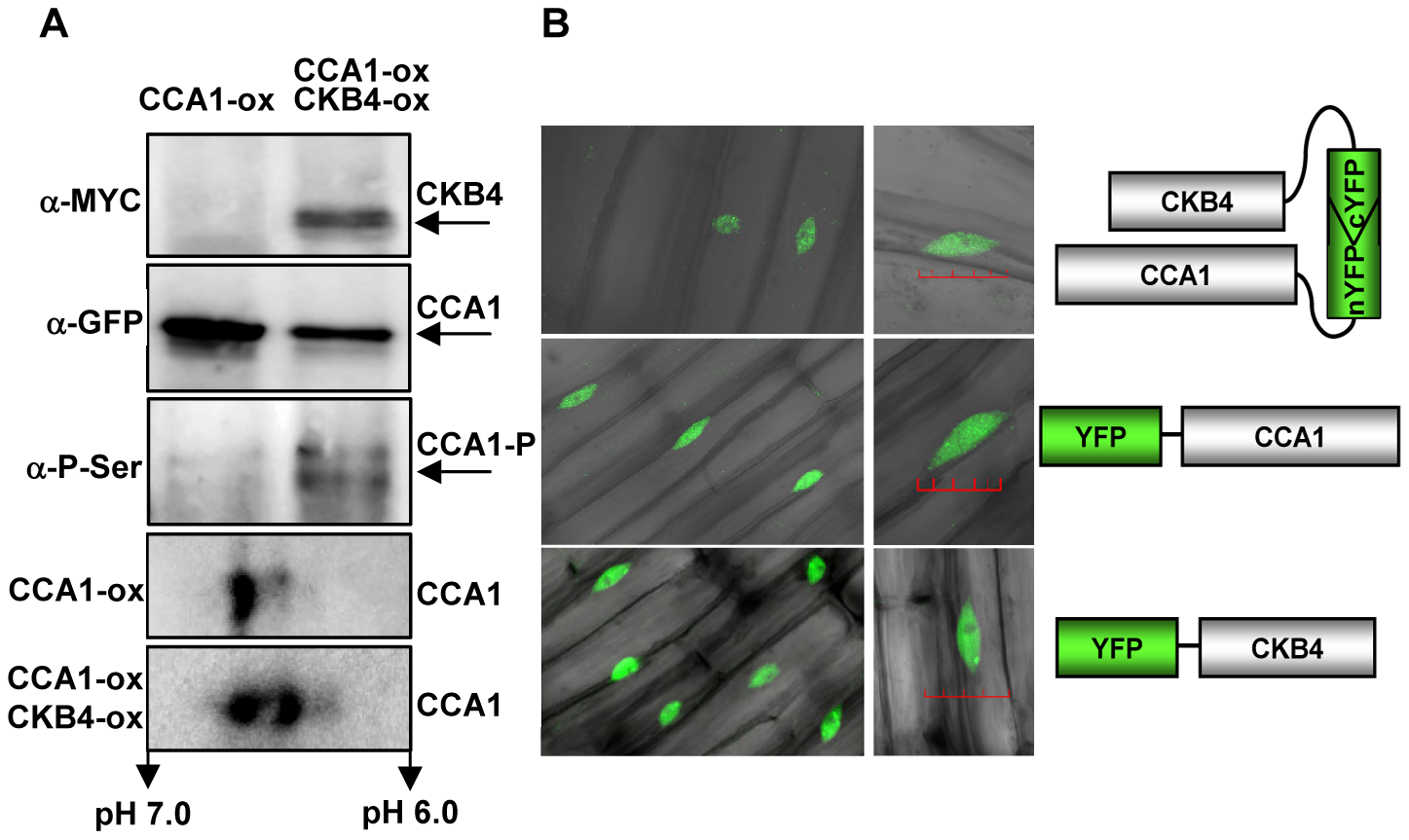 Molecular interaction of CCA1 and CKB4.