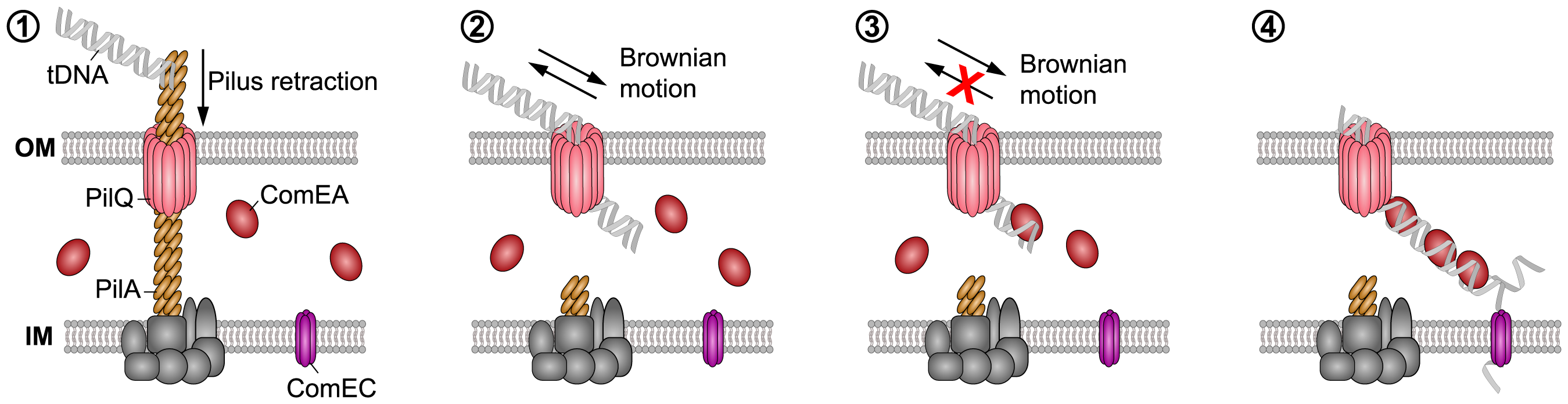 Working model of how DNA translocation across the outer membrane might occur in <i>V. cholerae</i>