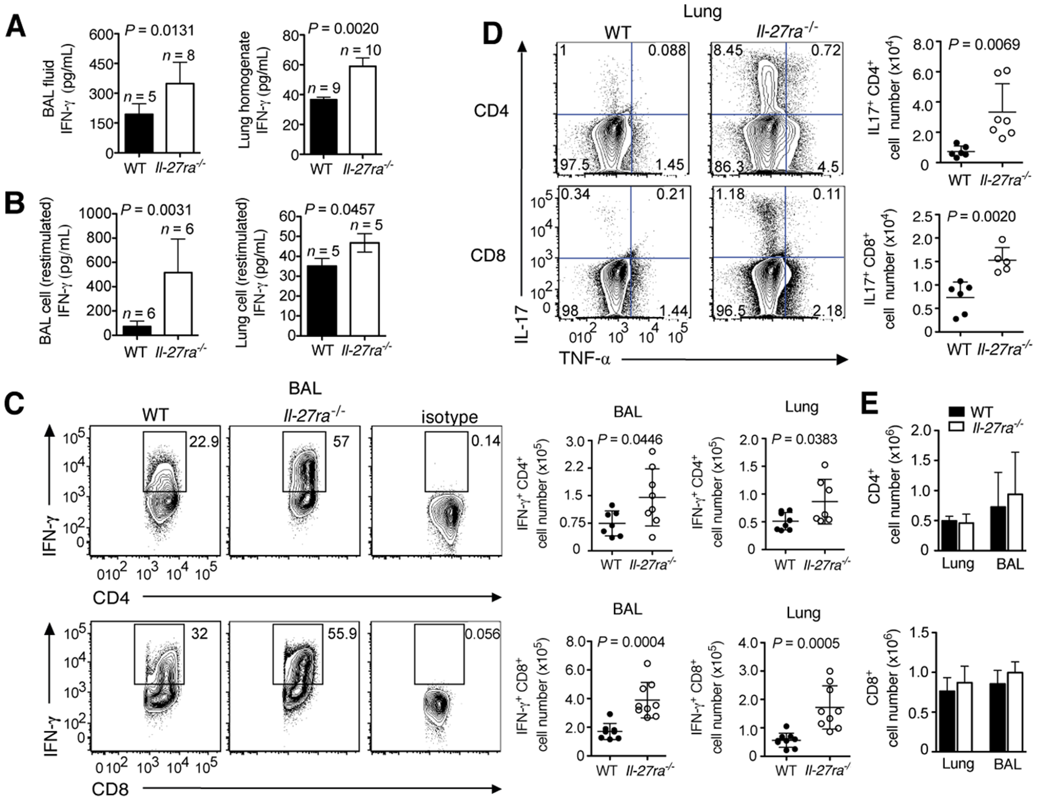 Absence of IL-27Rα leads to increased numbers of IFN-γ or IL-17-producing T cells in the respiratory tract.