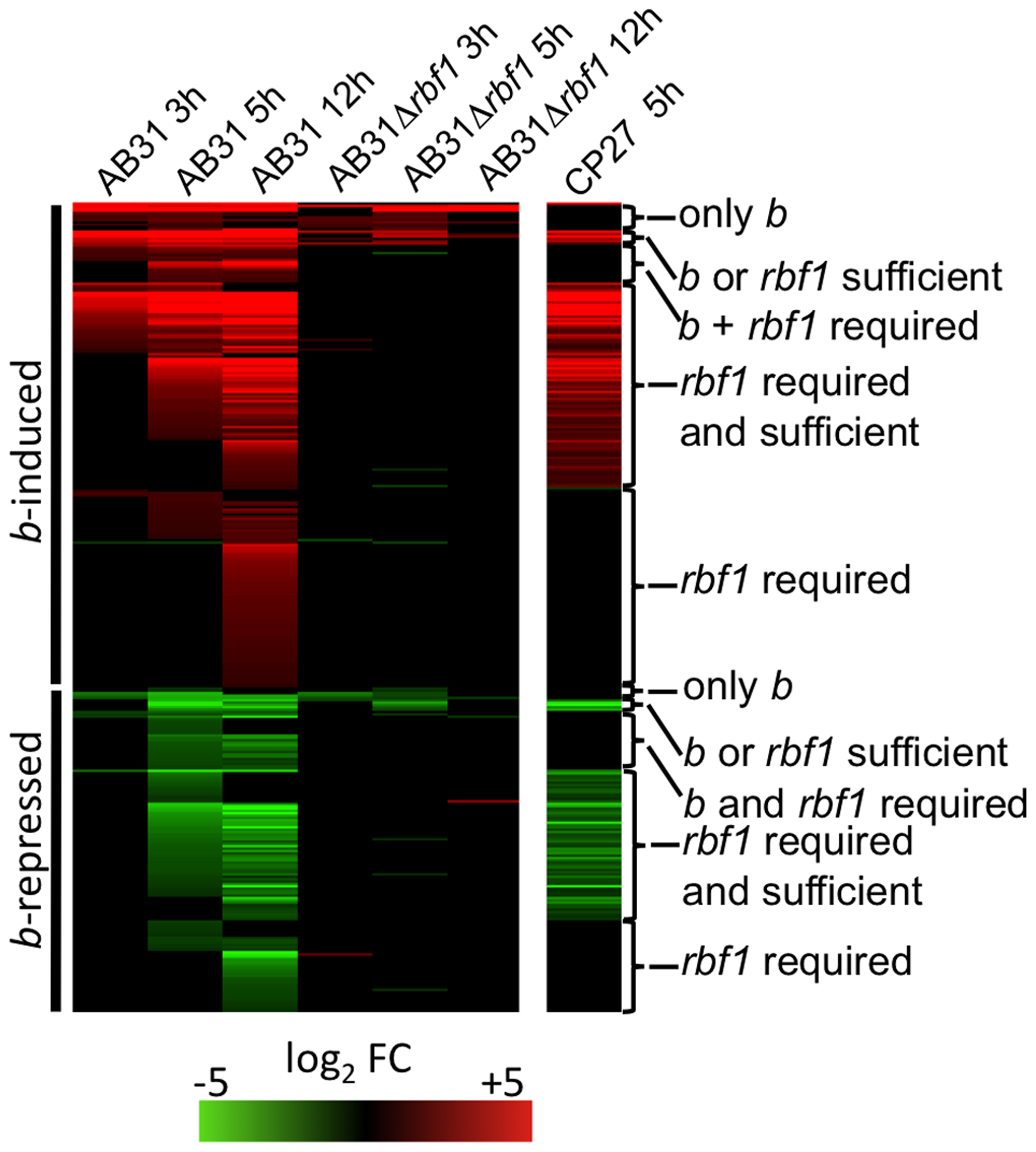 Rbf1 is required and sufficient for expression of <i>b</i>-dependent genes.