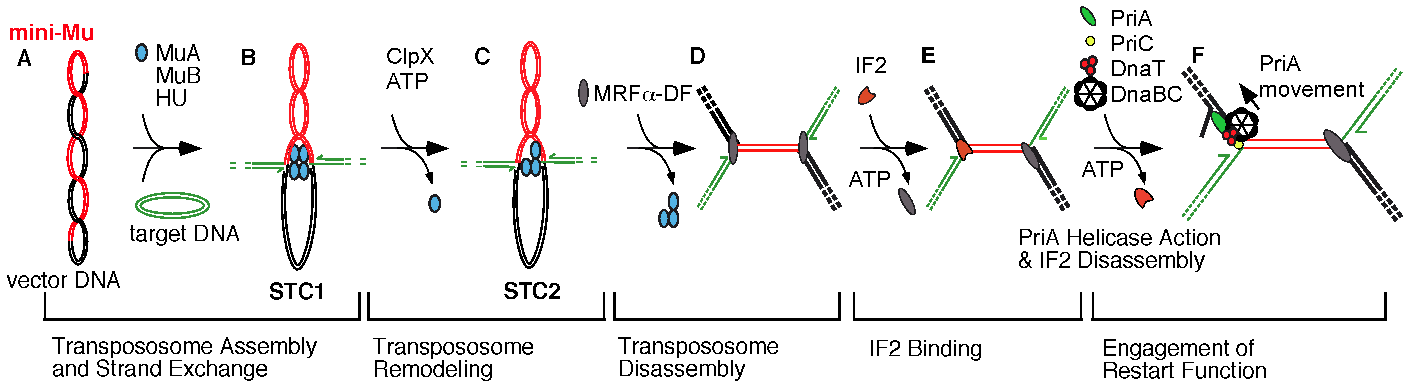 Transition from transpososome to replisome during bacteriophage Mu transposition.