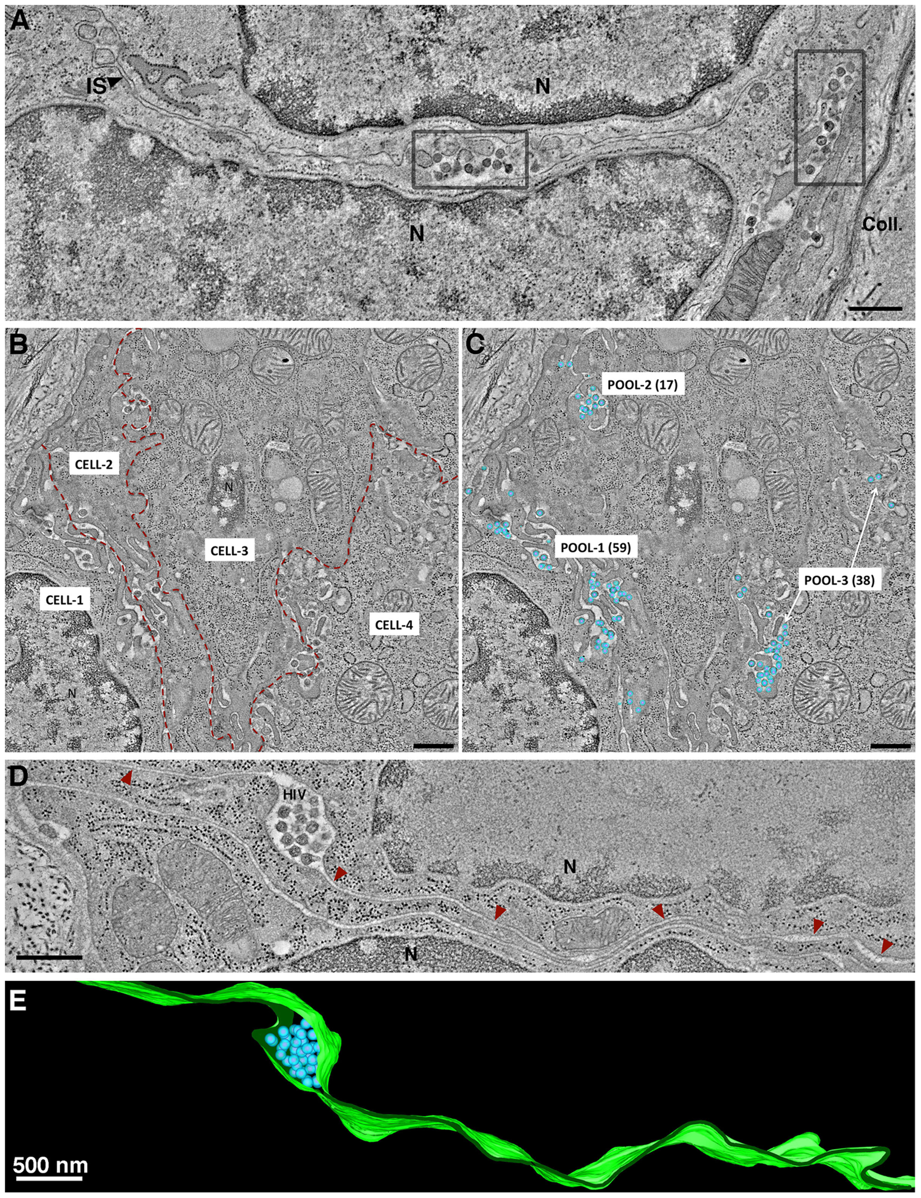 Intercellular pools of HIV-1.