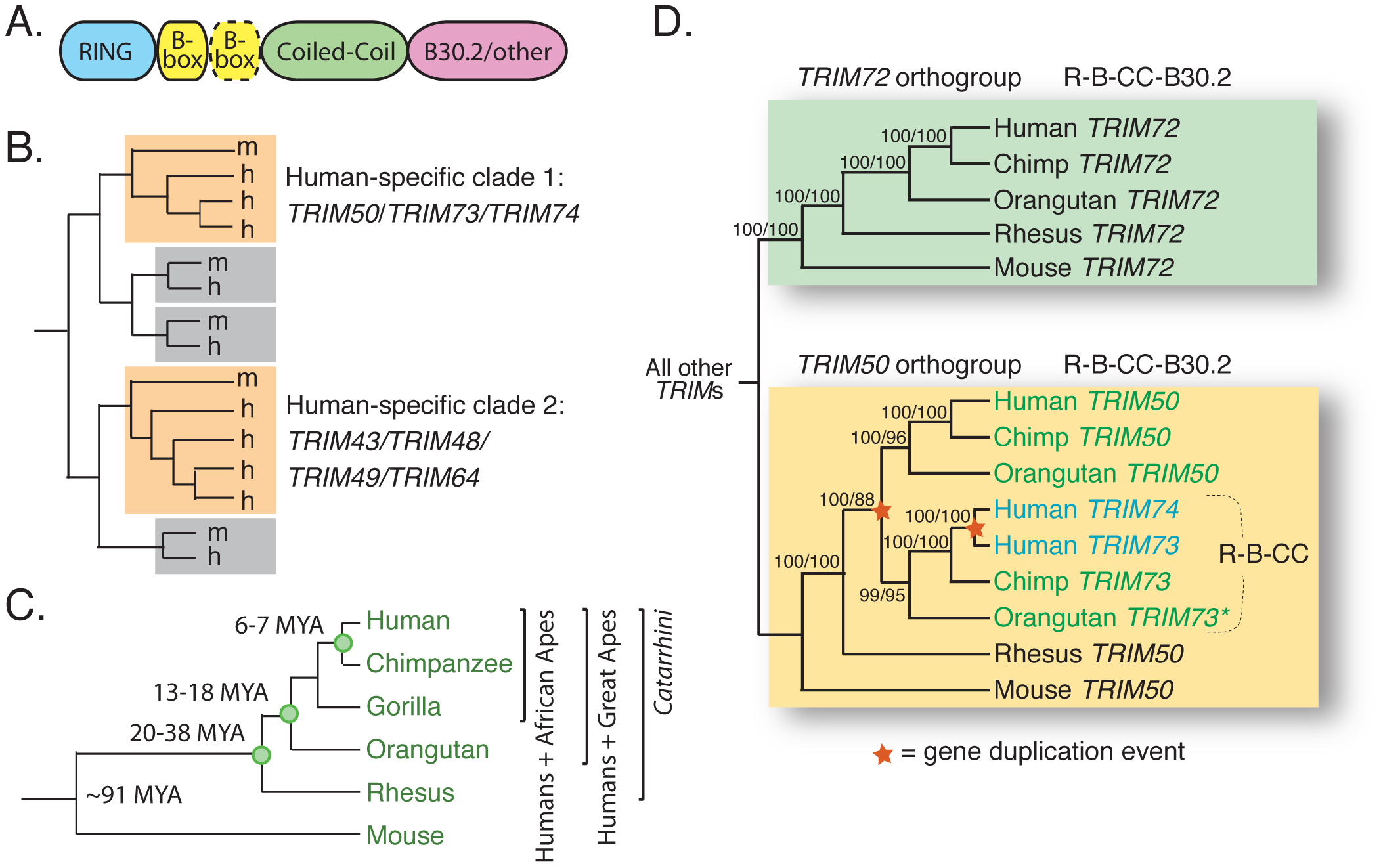 <i>TRIM73</i> and <i>TRIM74</i> arose in our recent primate ancestors.