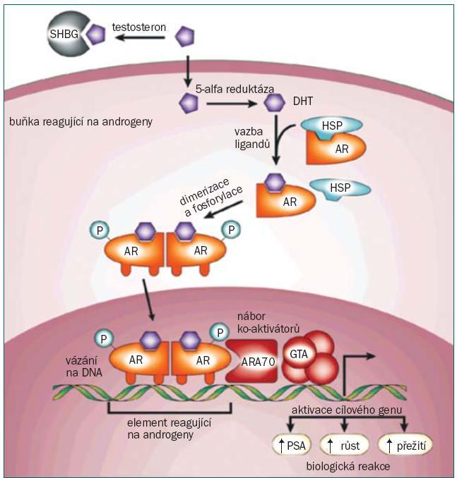 Schéma 1: Androgenní dráha. Testosteron cirkuluje v krvi vázán na albumin a SHBG (globulin, který se váže na pohlavní hormon) a přeměňuje se na volný testosteron. Volný testosteron vstupuje do buněk prostaty, kde je prostřednictvím enzymu 5-alfa-reduktázy přeměněn na DHT (dihydrotesto - steron). Vazba DHT na AR (androgenní receptor) vyvolává separaci od HSPs (heat-shock proteins) a fosforylaci receptoru. AR dimerizuje a může se vázat na prvky (reagující na androgen) v oblasti promotoru cílených genů. Ko-aktivátory (jako například ARA70) a korepresory se rovněž váží na komplex AR a usnadňují, nebo zabraňují procesu transkripce. Aktivace nebo represe cílených genů spouští biologickou odpověď v podobě růstu, přežití a produkce PSA (prostatického specifického antigenu). Otištěno se svolením (Nature Reviews Cancer 1, 34–45 (2001) (147).