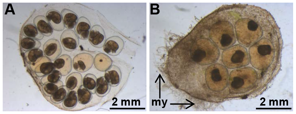 BgLBP/BPI1 is essential to protect eggs from oomycete infection.