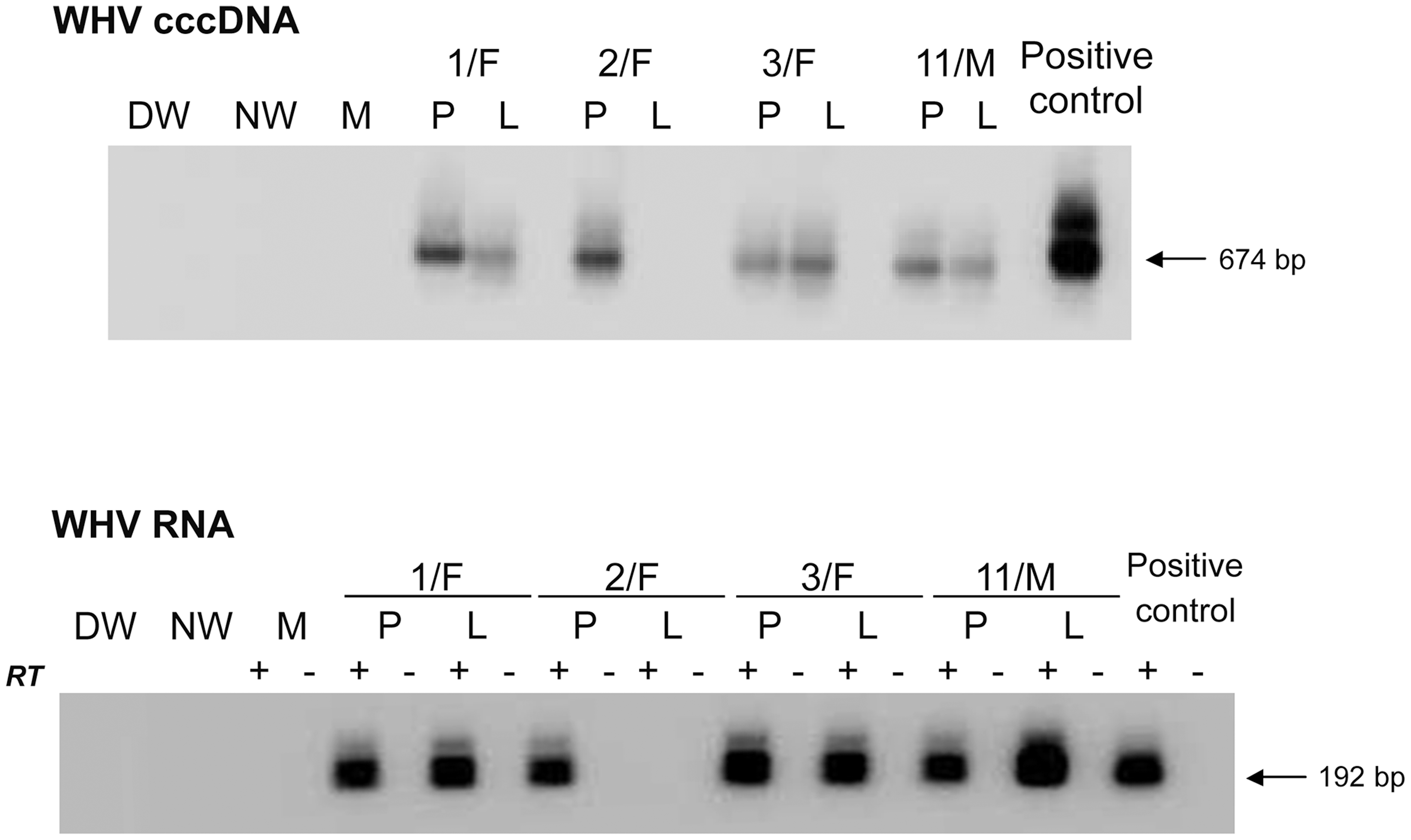 Detection of WHV cccDNA and WHV RNA in liver and PBMC samples obtained at 34–40 months post-infection from woodchucks with POI established by inoculation with 10 WHV/tm5 virions.