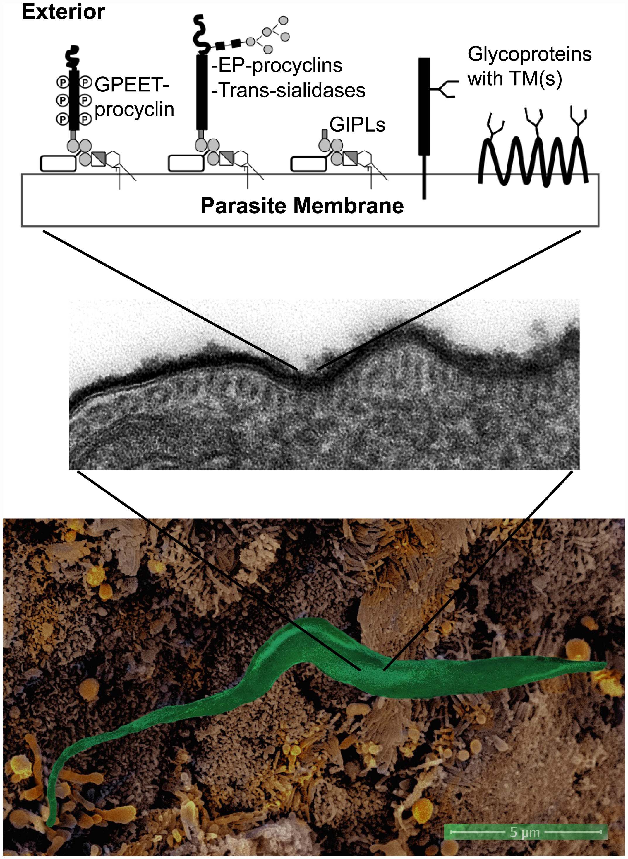The surfaces of parasites, such as <i>Trypanosoma brucei brucei</i>, are covered by glycoconjugates forming a protective glycocalyx against the host defense systems.