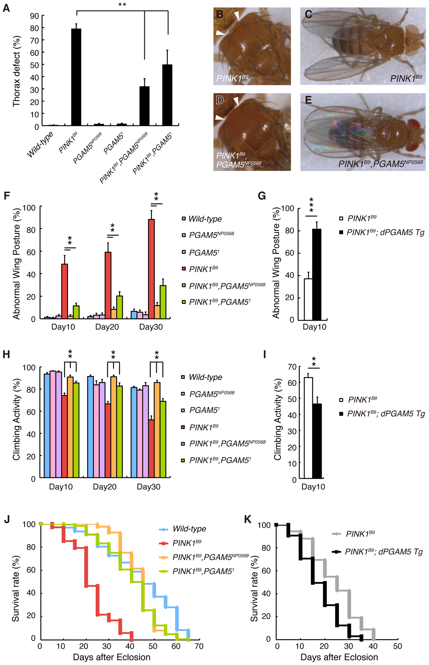 Loss of <i>dPGAM5</i> suppresses <i>dPINK1</i> mutant phenotypes in <i>Drosophila</i>.