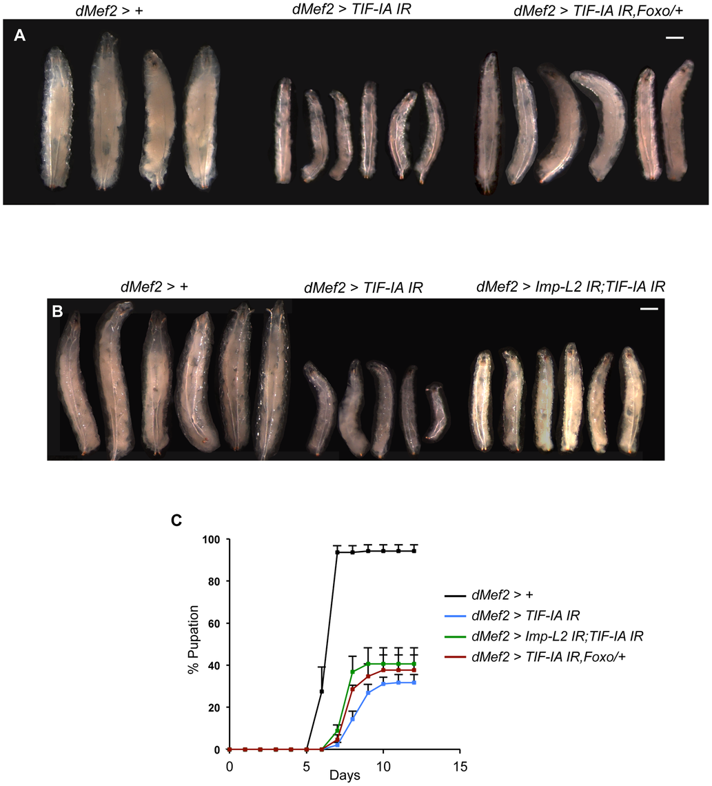 Reduction of Imp-L2 levels or removal of one copy of <i>foxo</i> (<i>foxo<sup>25</sup></i>/+) partially rescues <i>dMef2&gt;TIF-IA IR</i> induced body growth defect and developmental delay.