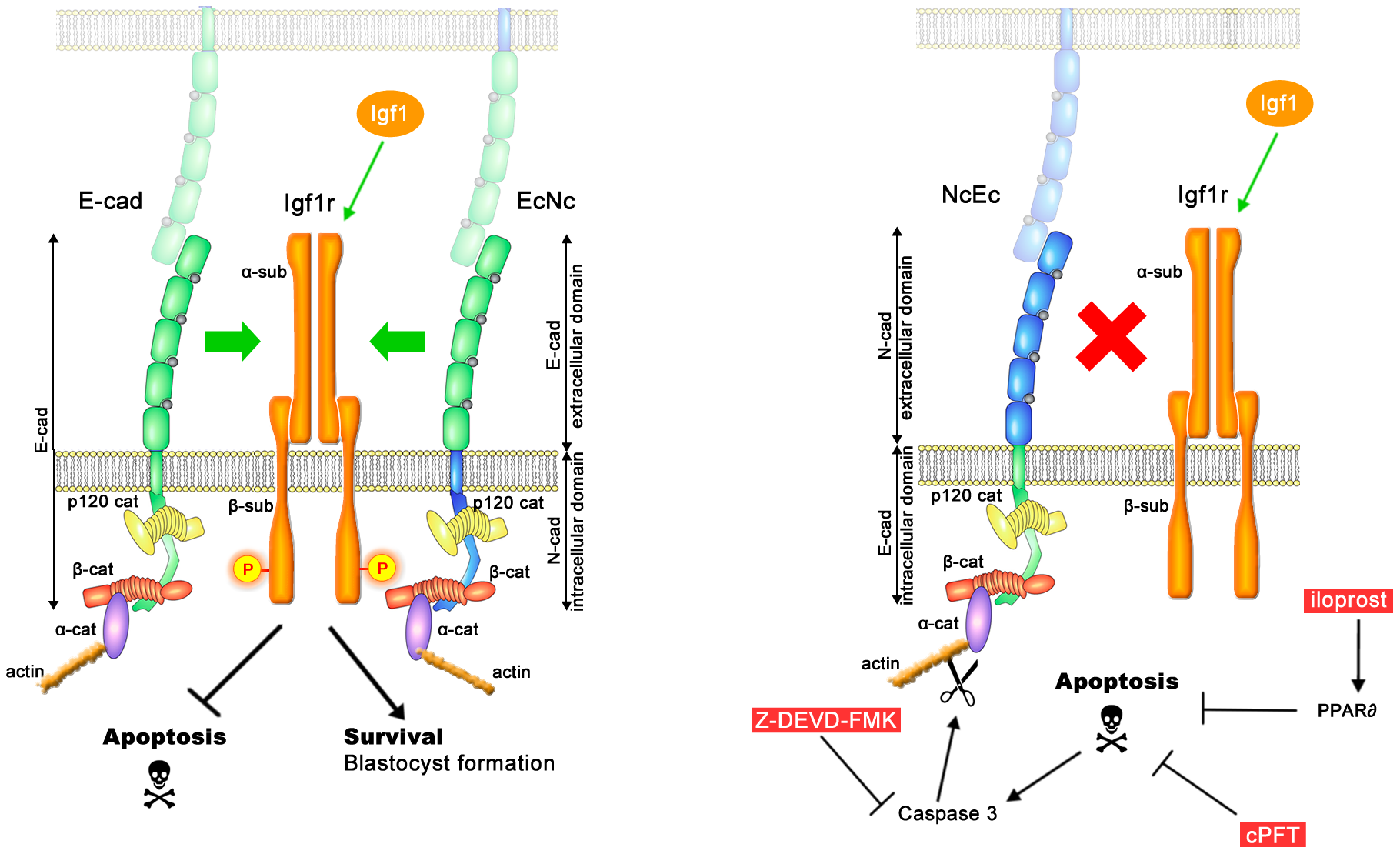 A model of the molecular pathways that are involved in TE survival but are blocked in homozygous NcEc and N-cad ki/ki mutants.