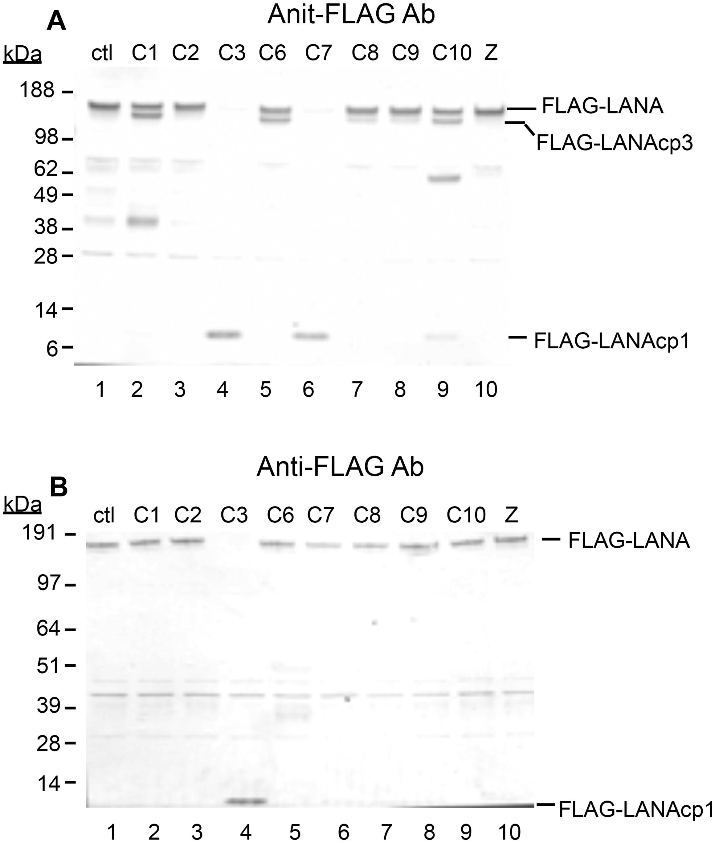 Caspases cleave FLAG-LANA <i>in vitro</i>.