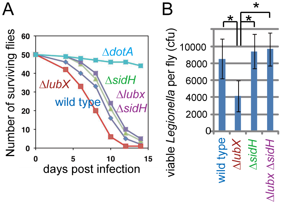 Phenotypes of <i>lubX</i>, <i>sidH</i> and double knockout strains in fly model.