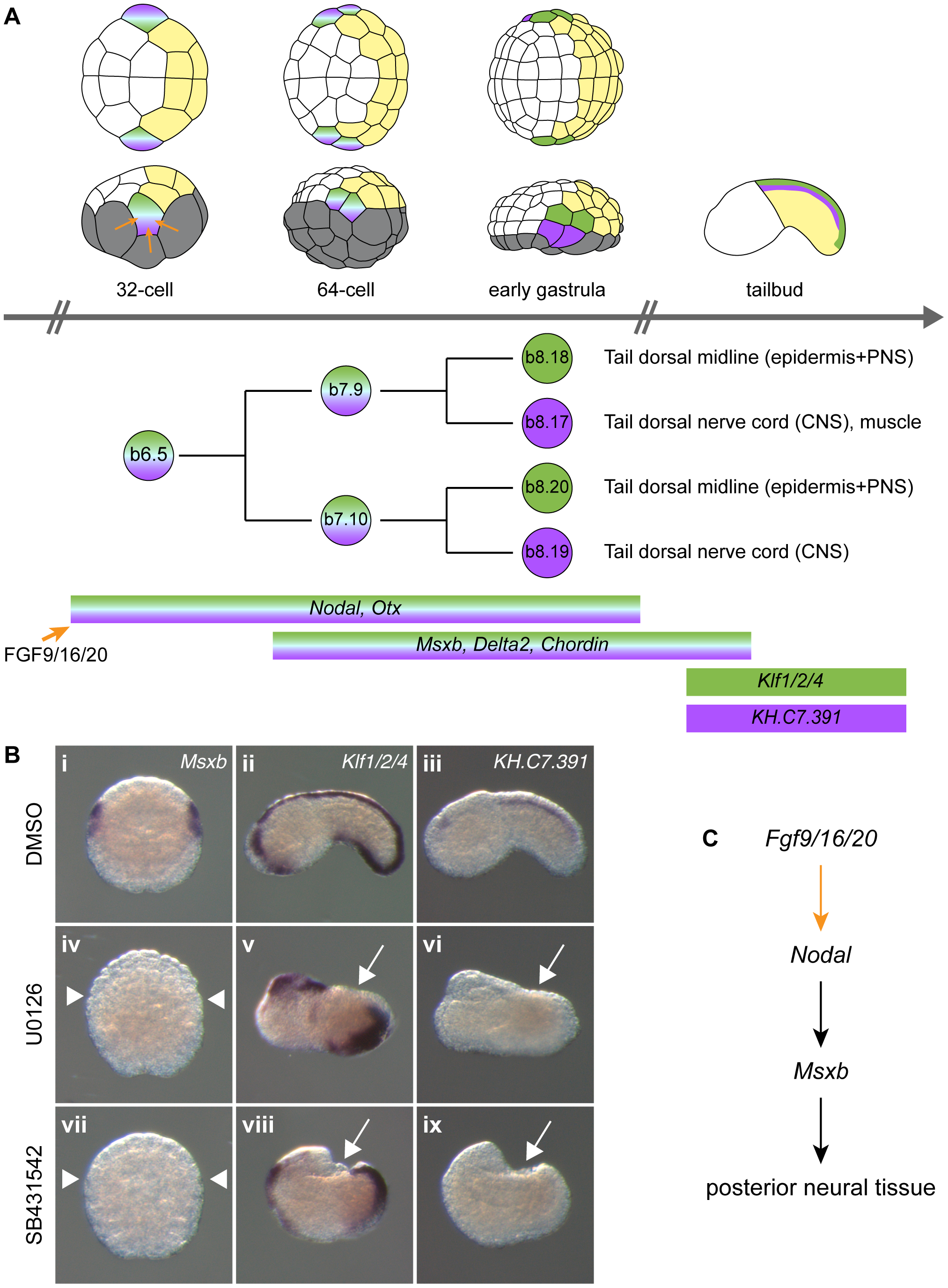 FGF and Nodal signaling are required for posterior neural tissue formation.