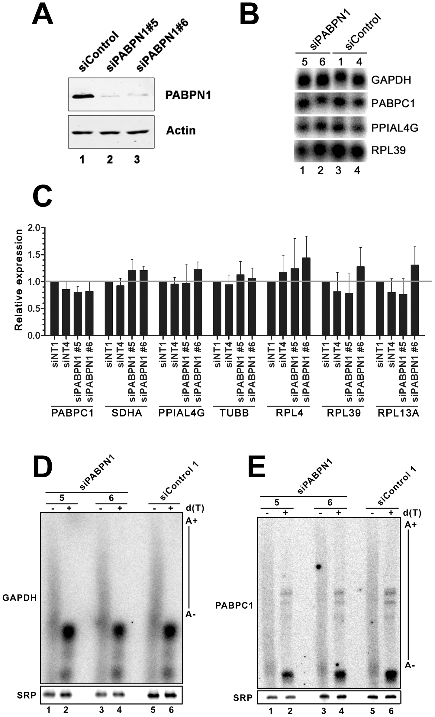 Expression and polyadenylation of housekeeping genes in PABPN1–depleted cells.