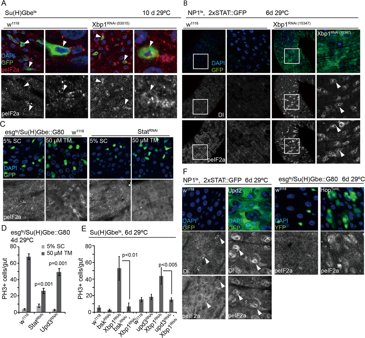 Non-autonomous activation of PERK in ISCs by JAK/Stat signaling.
