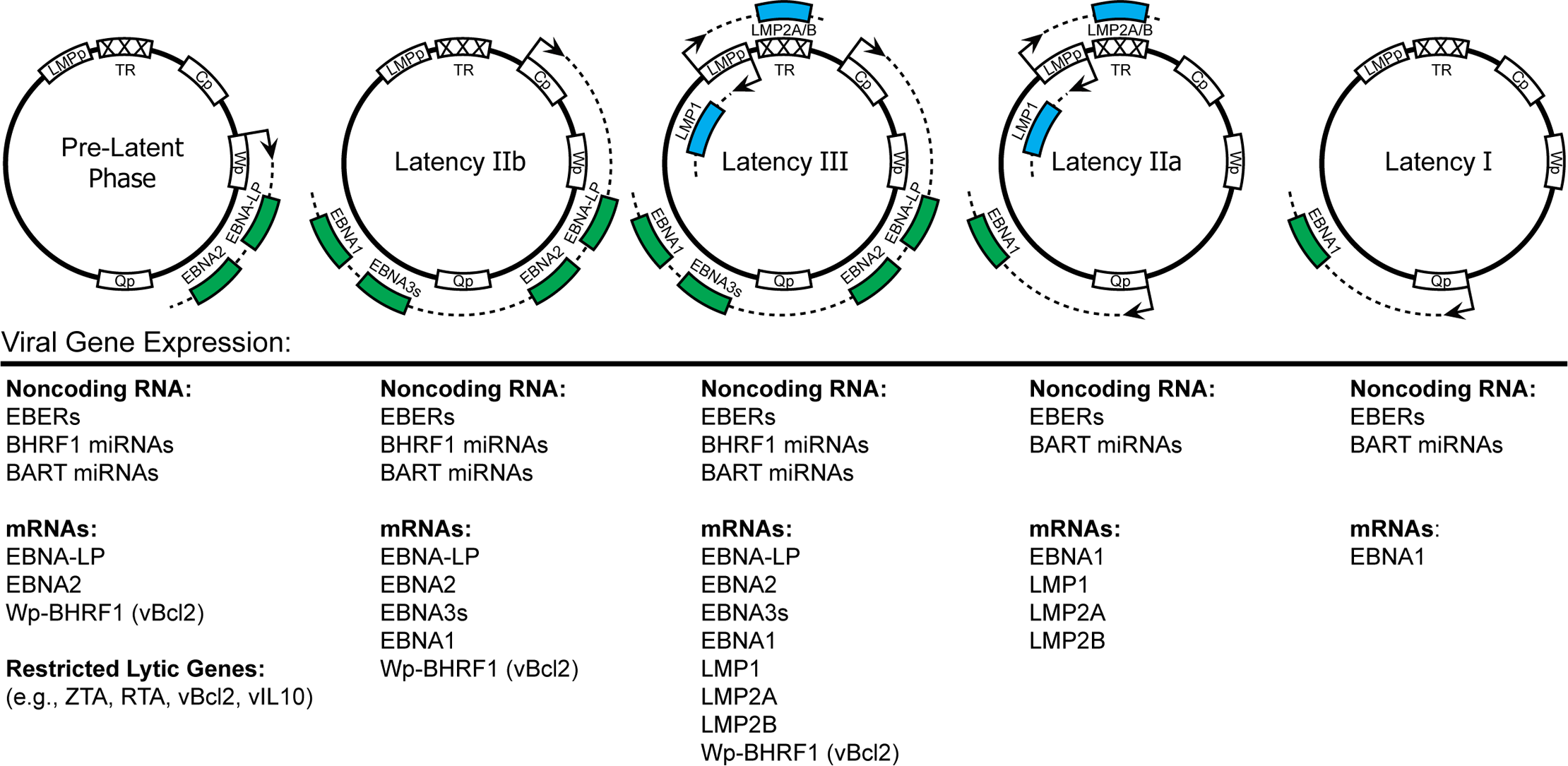 EBV latency gene expression in different latency states.