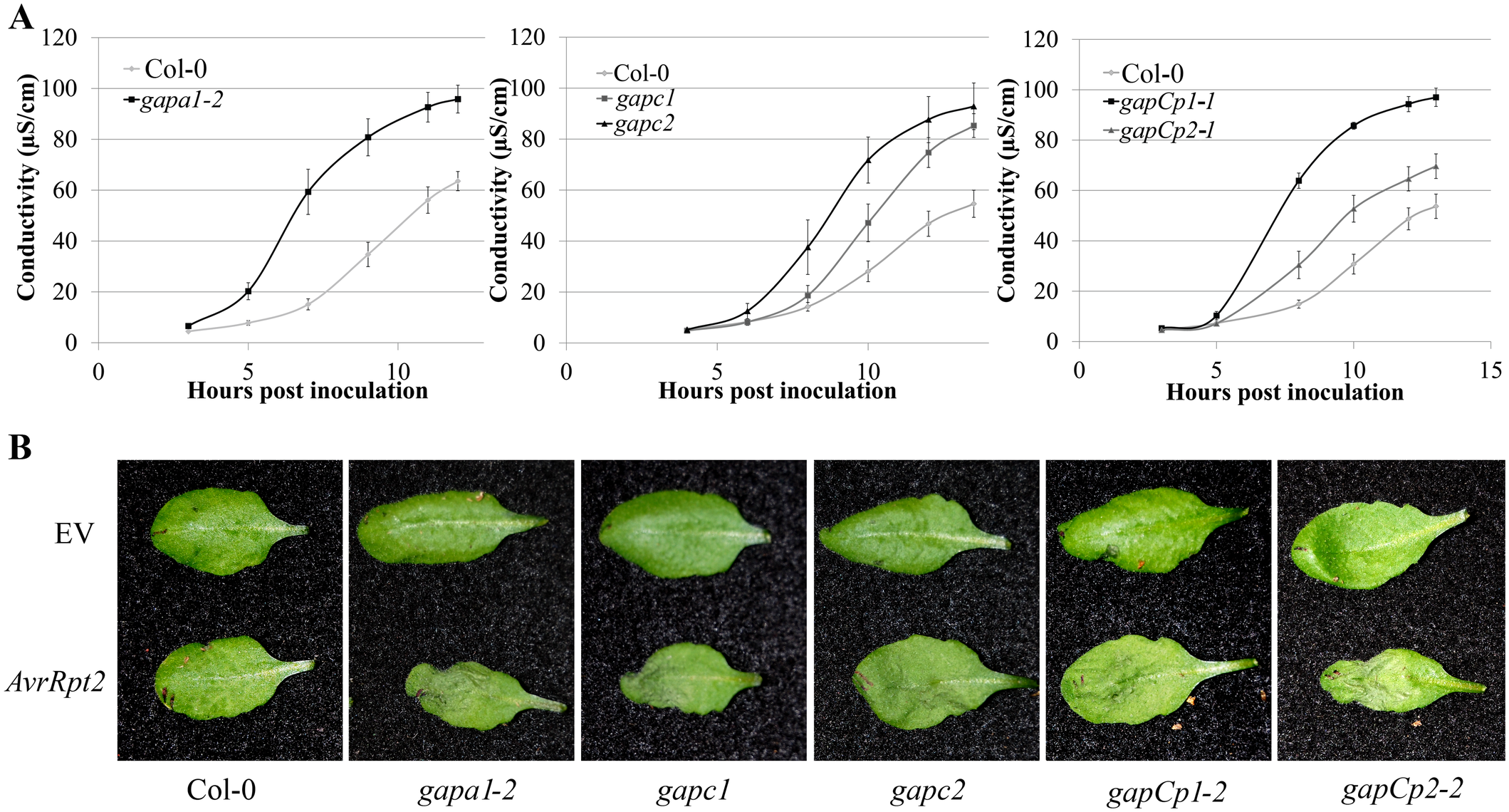 <i>GAPDH</i> knockouts displayed an accelerated hypersensitive response (HR) during effector-triggered immunity.