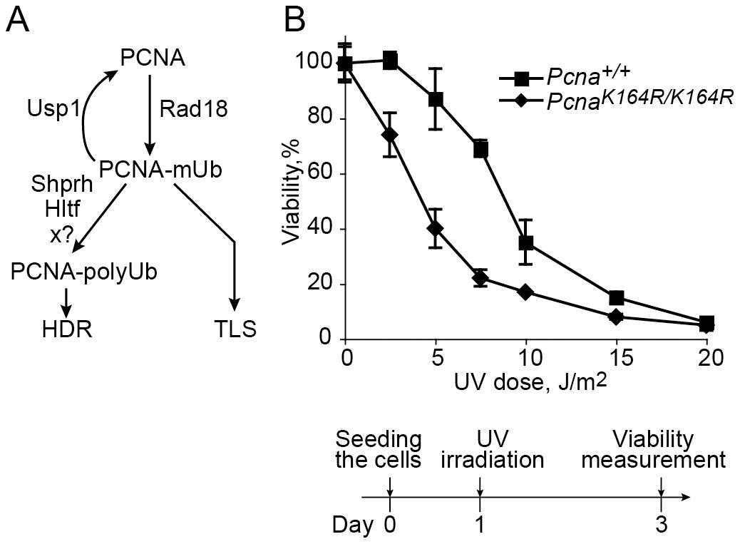 UV sensitivity of mouse embryo fibroblasts carrying the <i>Pcna<sup>K164R/K164R</sup></i> mutation.