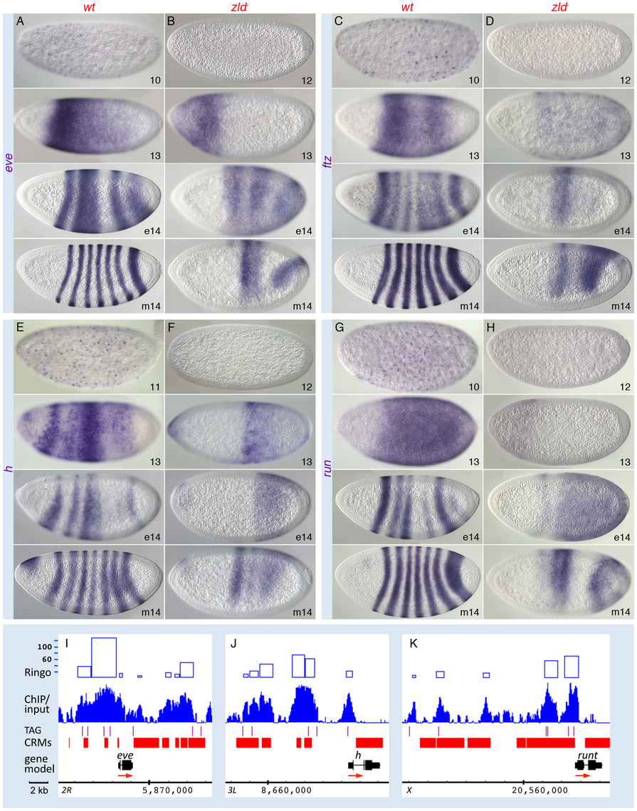 Pair-rule patterns are altered in <i>zld<sup>−</sup></i> embryos.