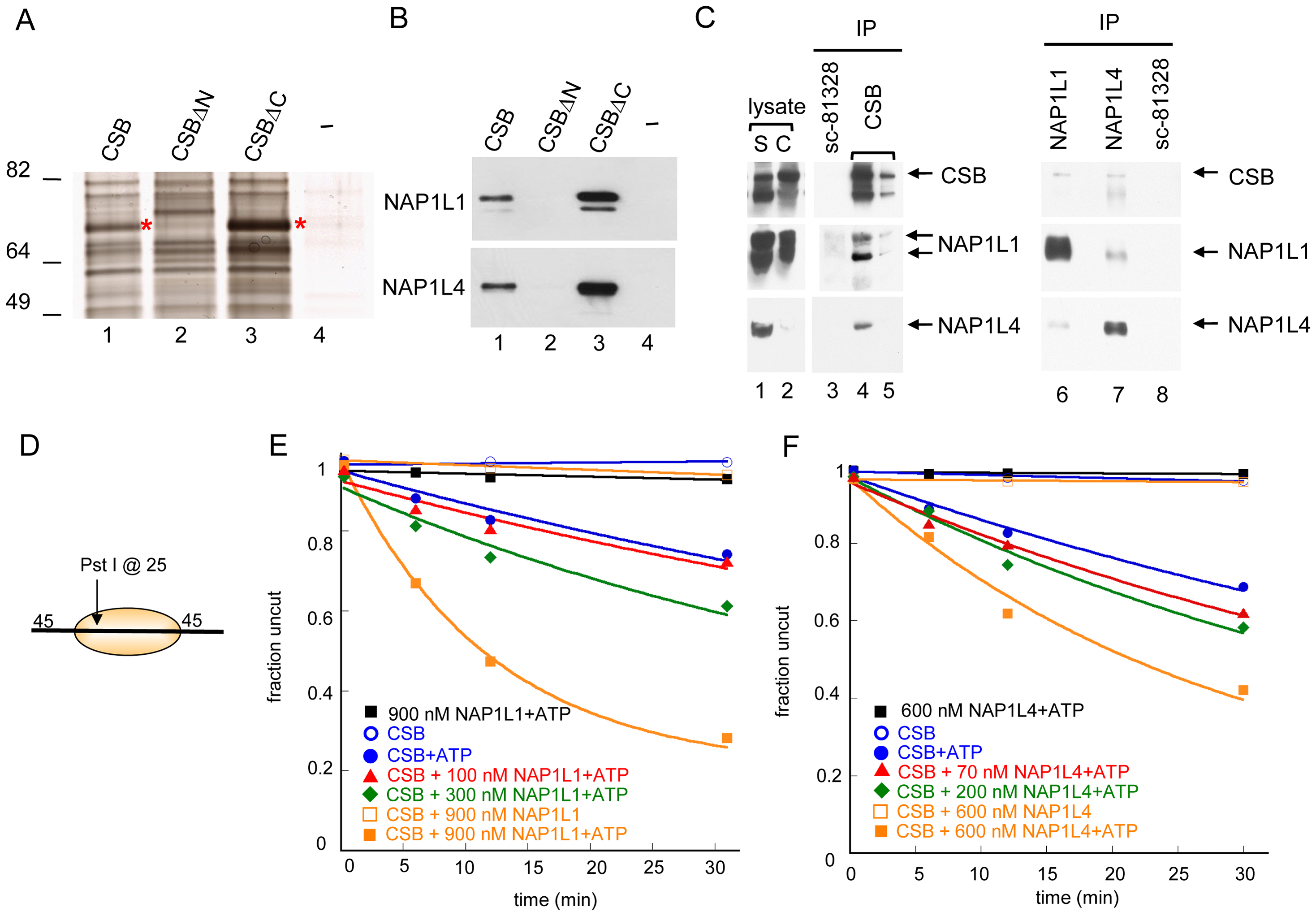 Histone Chaperones NAP1L1 and NAP1L4 Interact with CSB and Enhance ATP–Dependent Chromatin Remodeling by CSB.