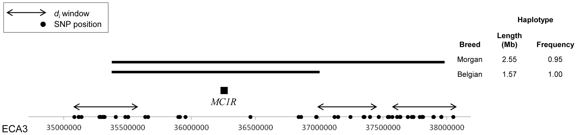 Haplotypes surrounding the <i>MC1R</i> locus in the Morgan and Belgian.