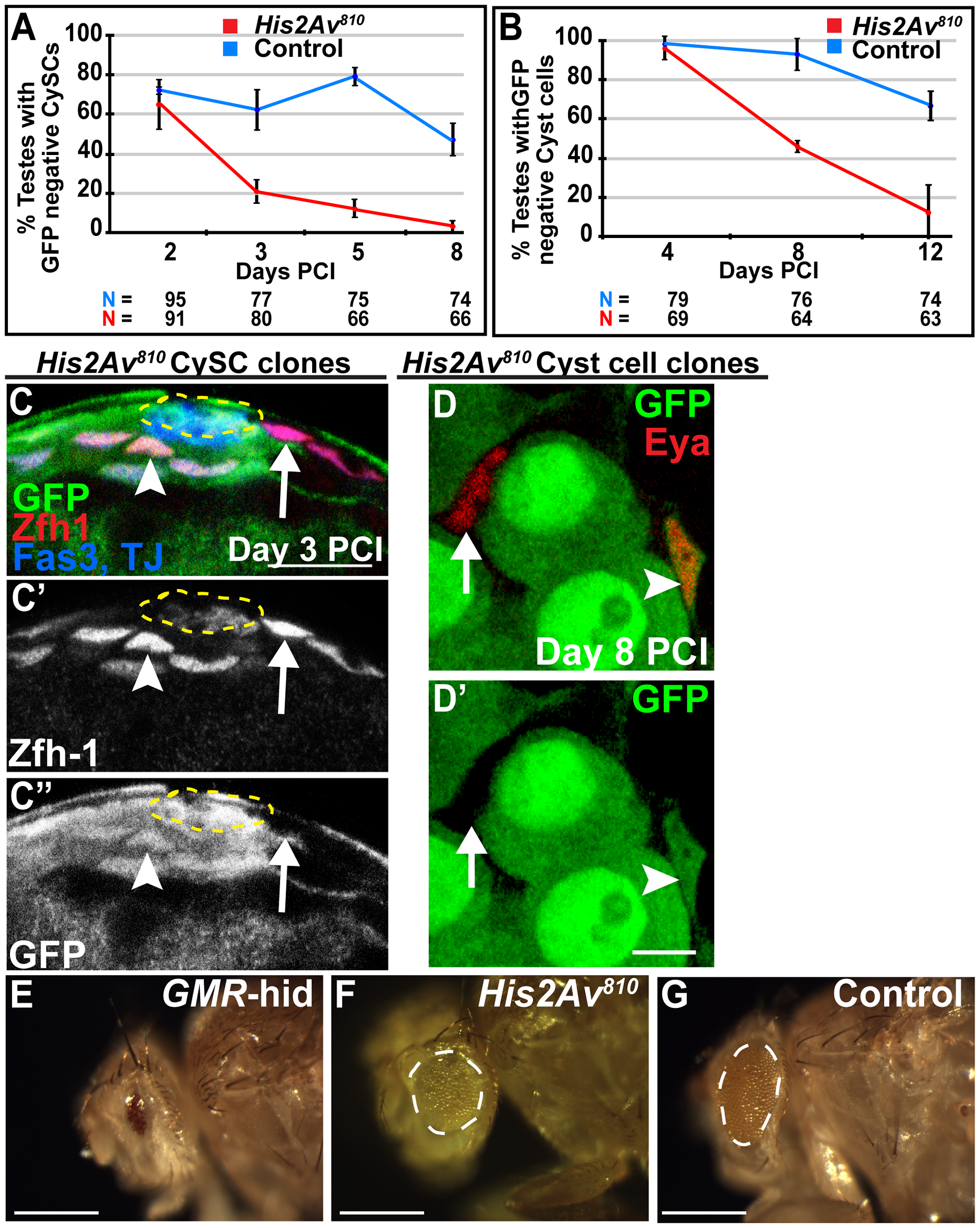<i>His2Av</i> is required cell autonomously for CySC maintenance but not for somatic cyst cell differentiation.