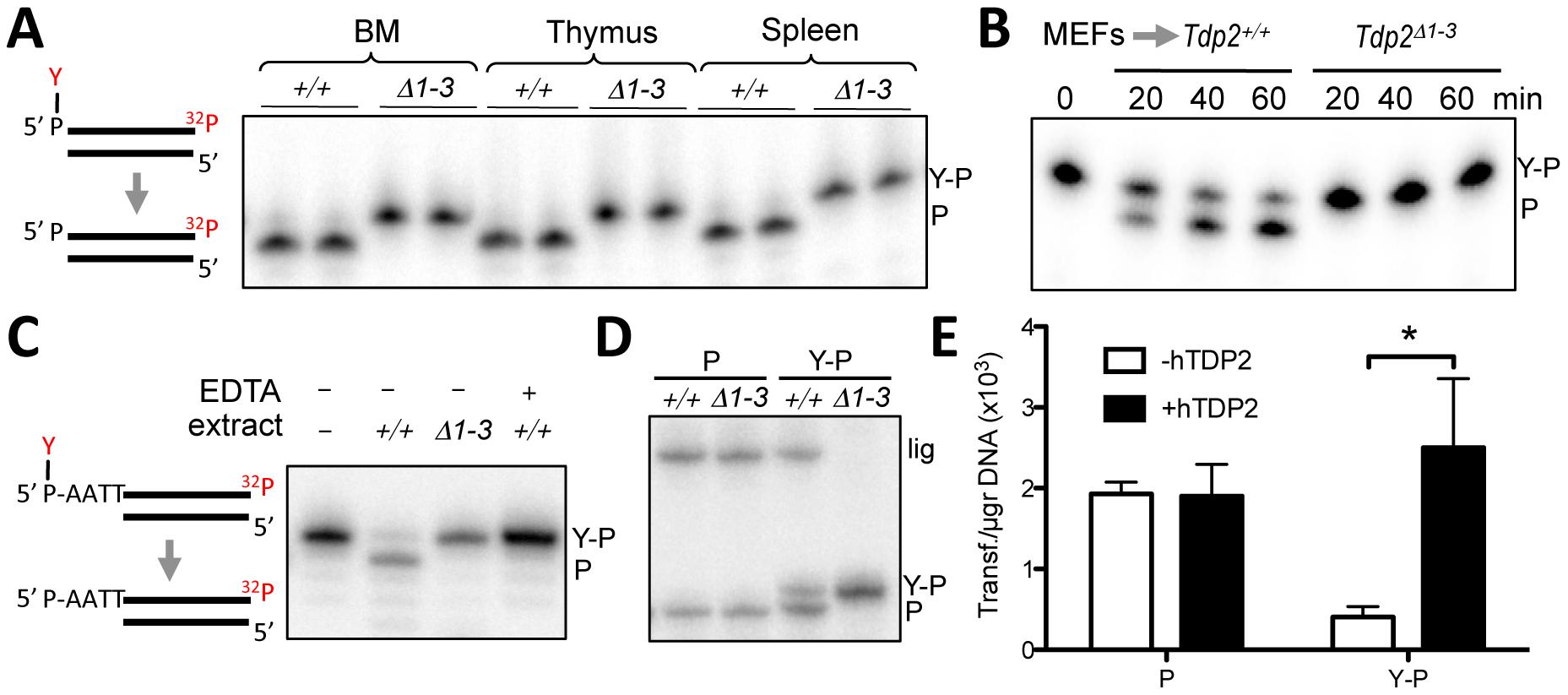 Deletion of <i>Tdp2</i> in mouse abolishes 5′-TDP activity and ligation of 5′ phosphotyrosine-blocked ends.